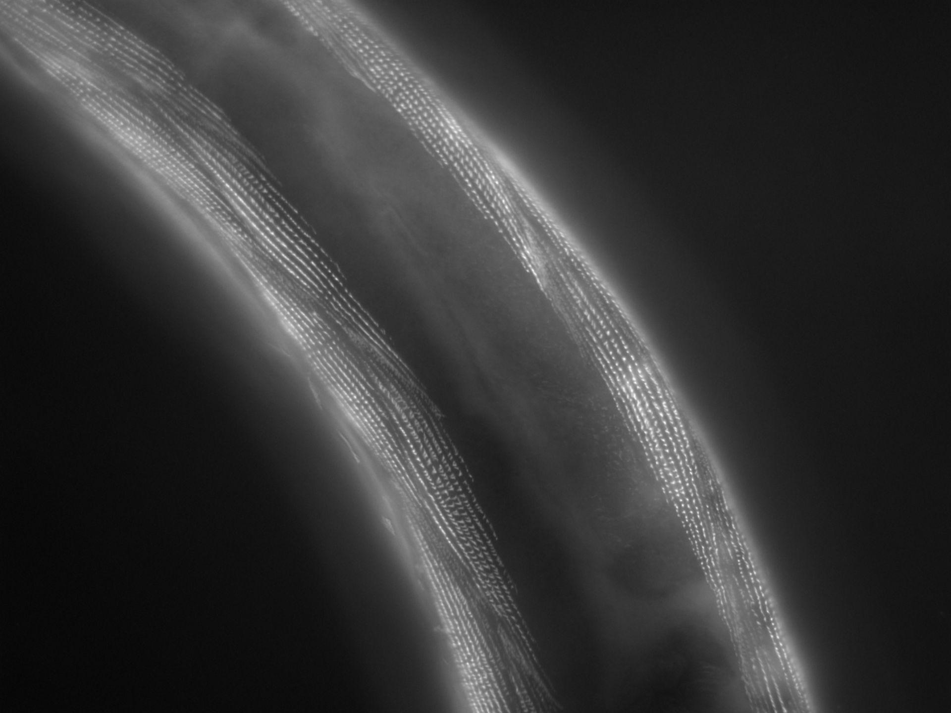 Caenorhabditis elegans (filamento di actina) - CIL:1180