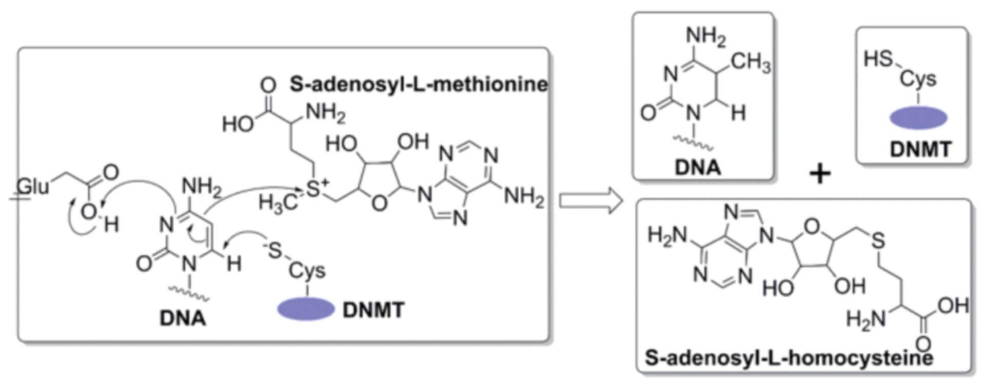 DNMT Inhibitor Screening