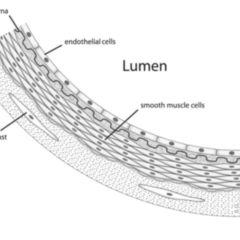 Large unstained cells - DocCheck Flexikon