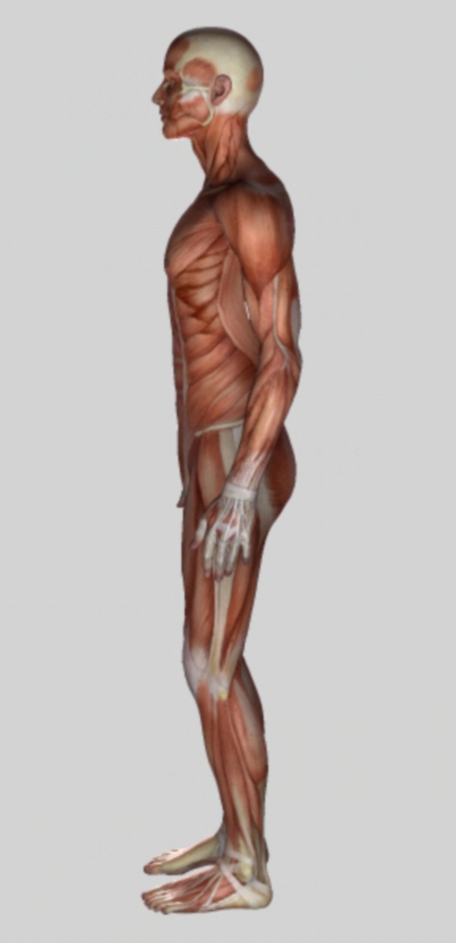 Muskulatur - Seitenansicht