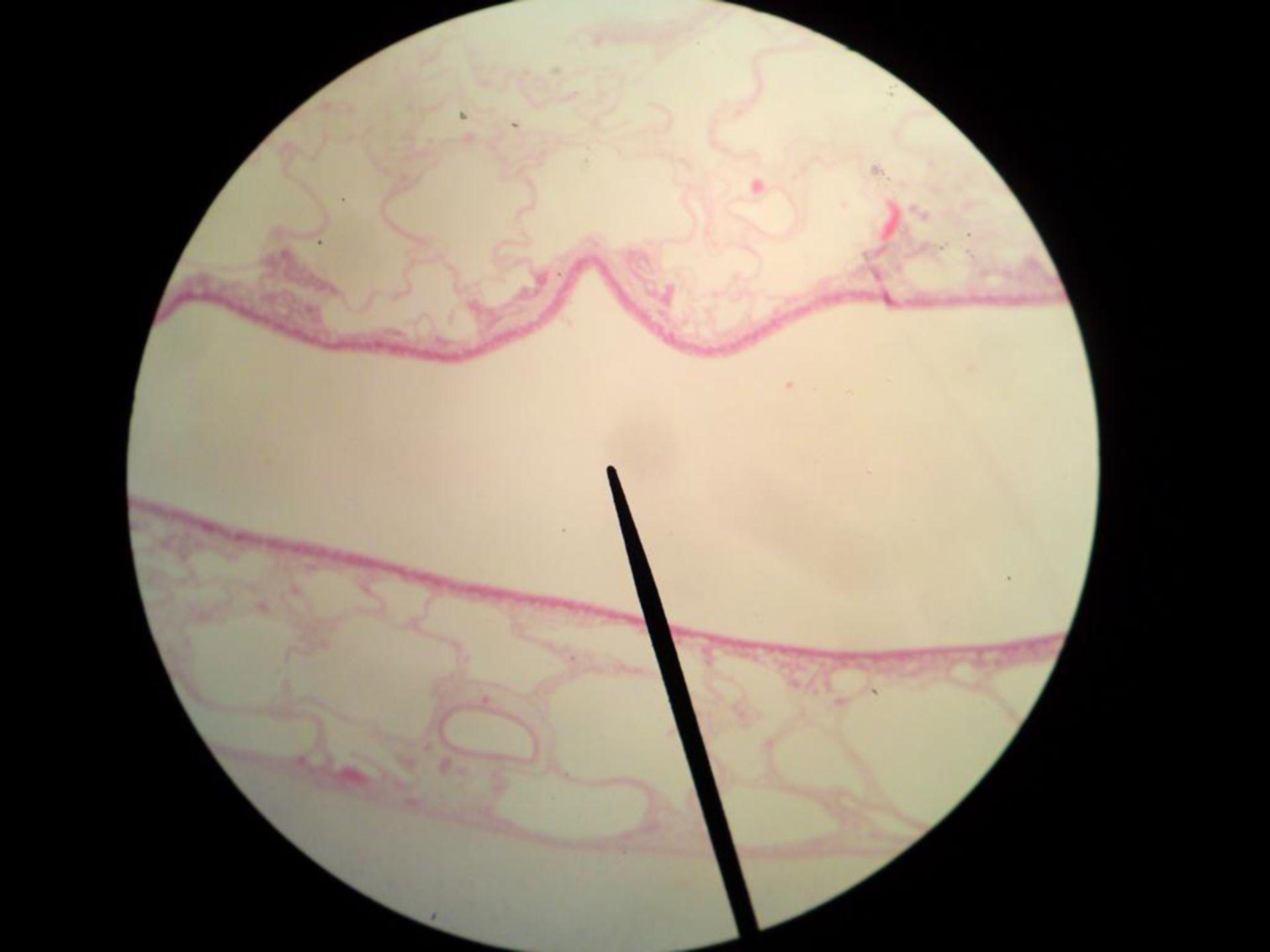 Ciliated epithelium  - nasal cavity sheep