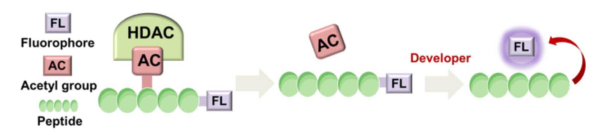 Histone Deacetylase Inhibitor Screening