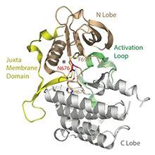 1331_ProteinstrukturFLT3Rezeptor_block