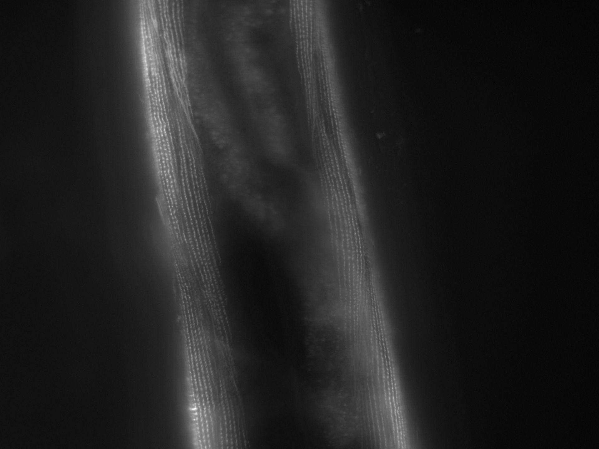 Caenorhabditis elegans (Actin filament) - CIL:1167