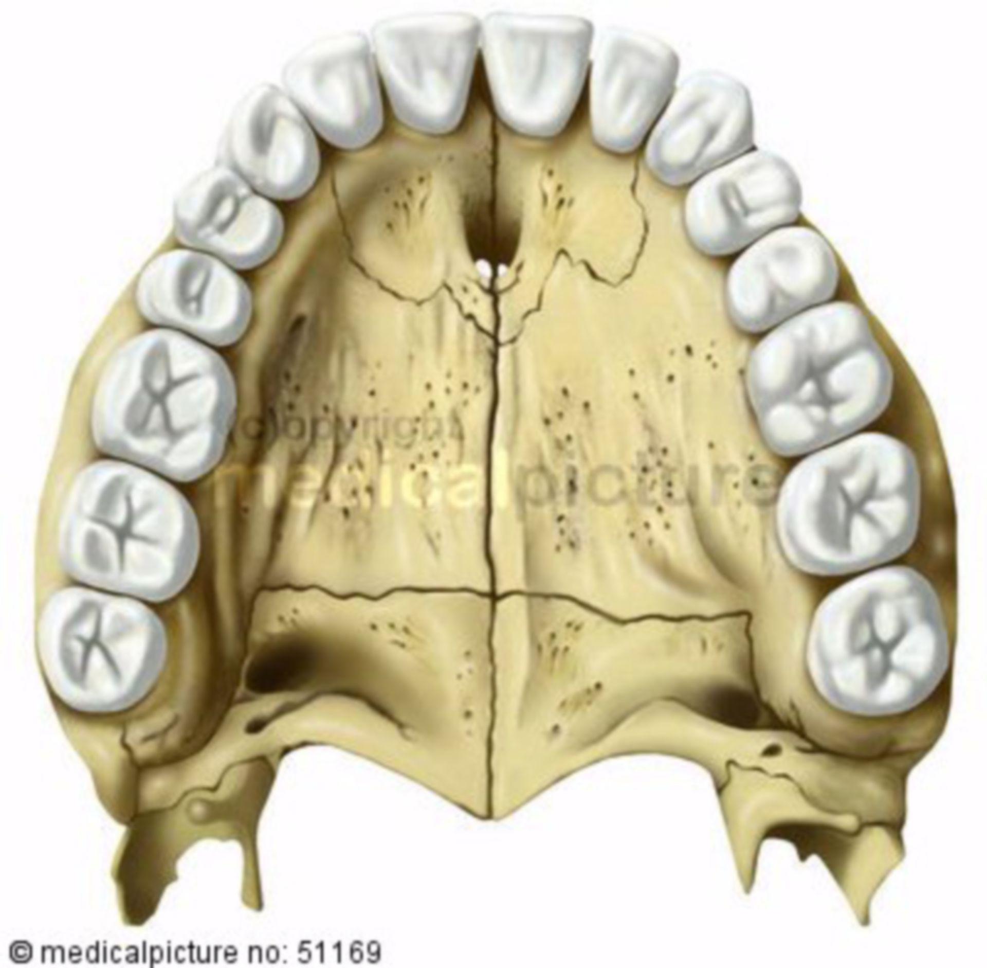 Denti superiori e il palato di un adulto