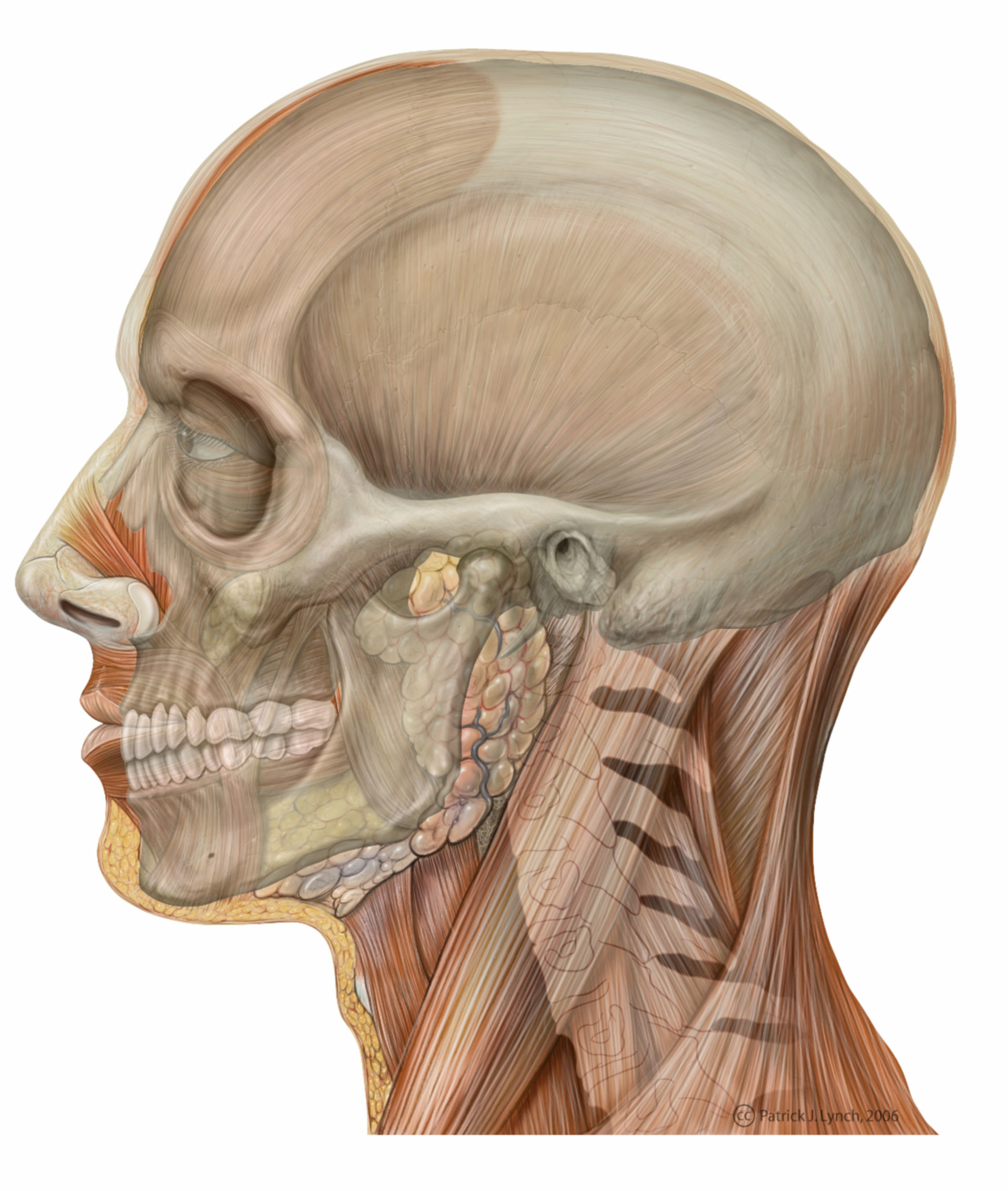 Anatomie des Kopfes (Illustration mit Schädelprojektion)