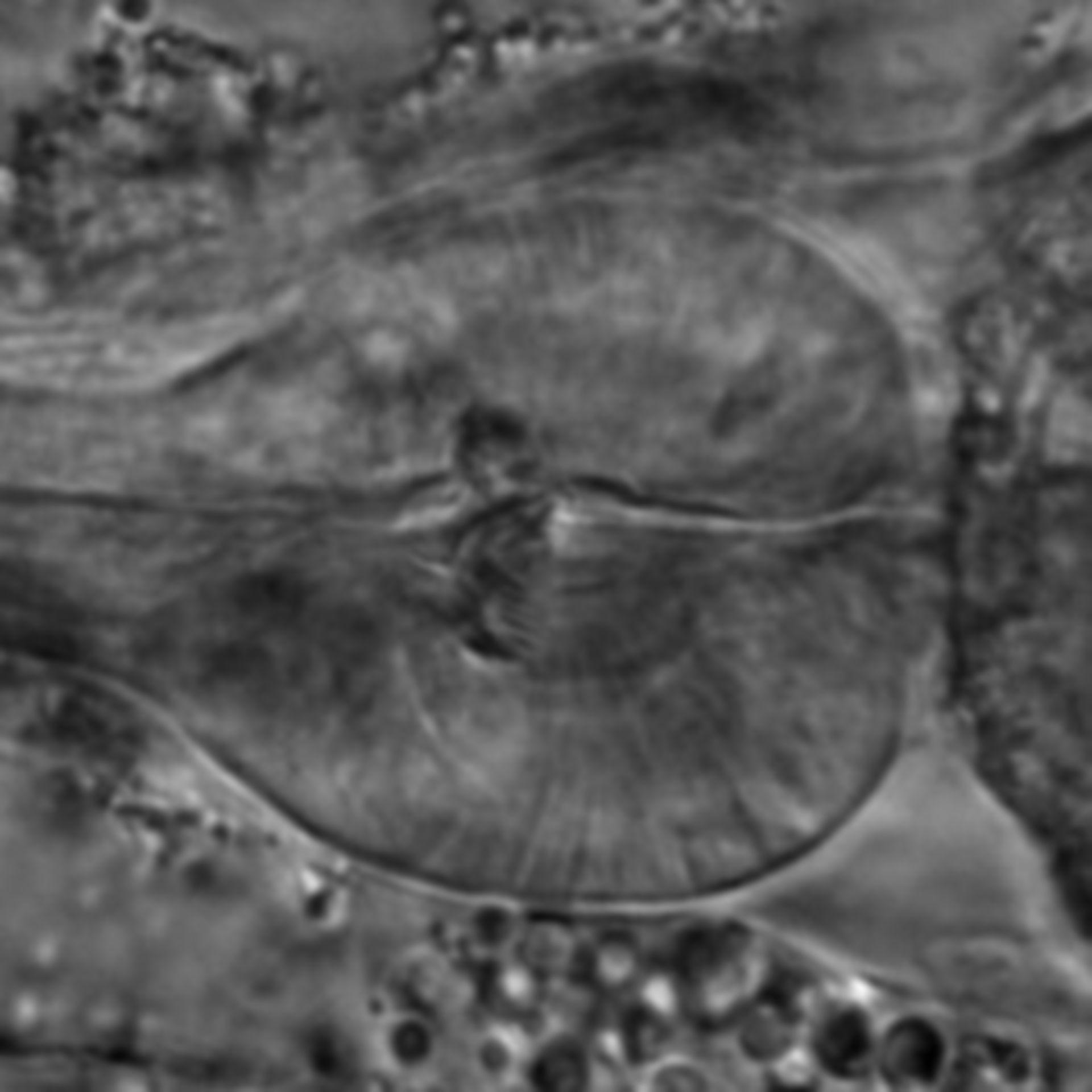 Caenorhabditis elegans - CIL:1700