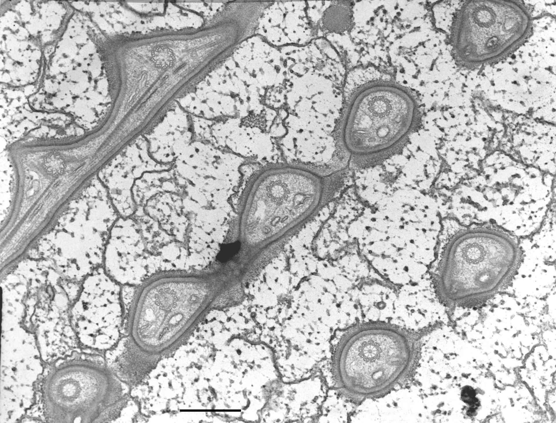 Nassula (Cytoskeleton) - CIL:10370