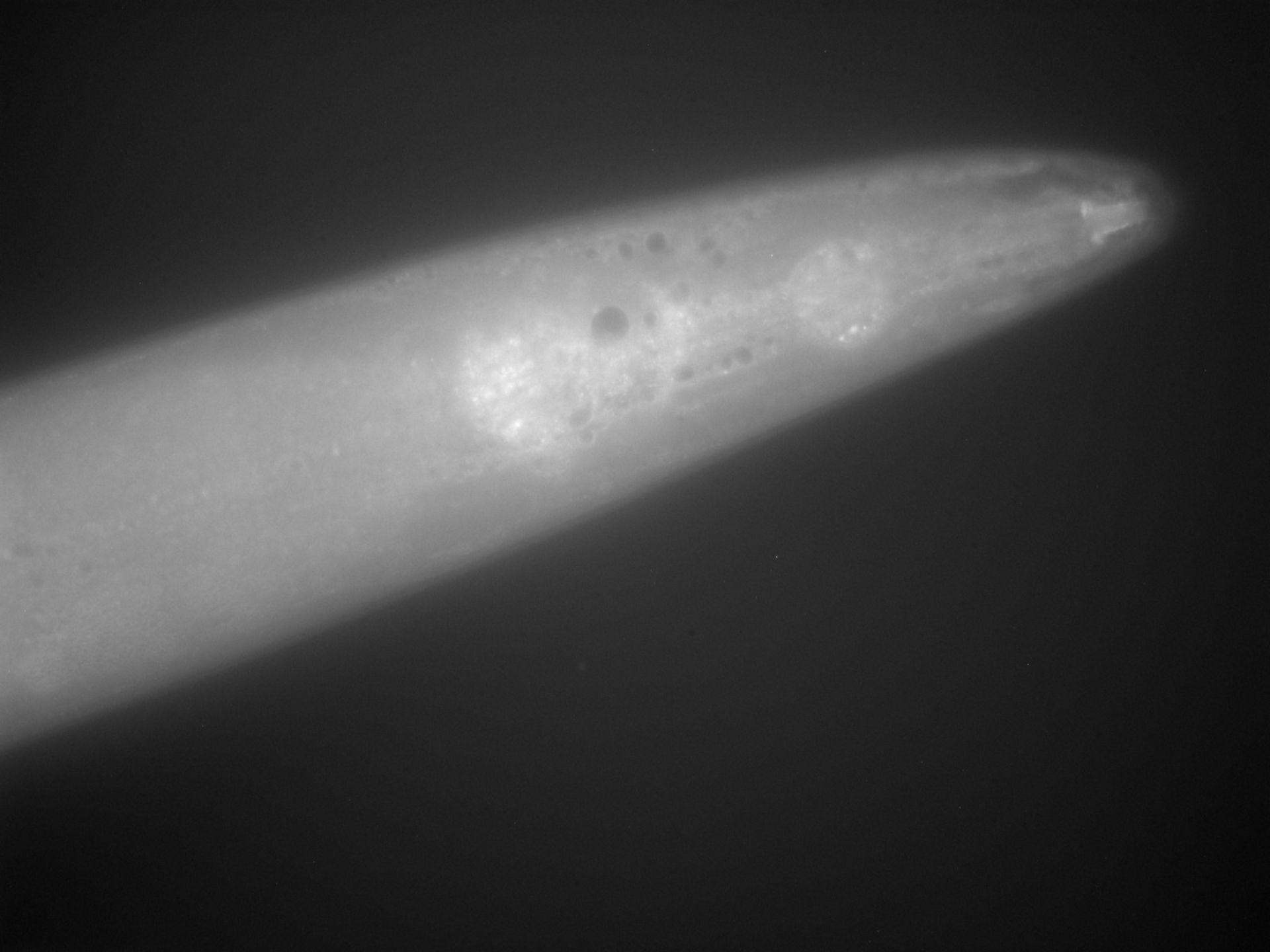 Caenorhabditis elegans (filamento di actina) - CIL:1285