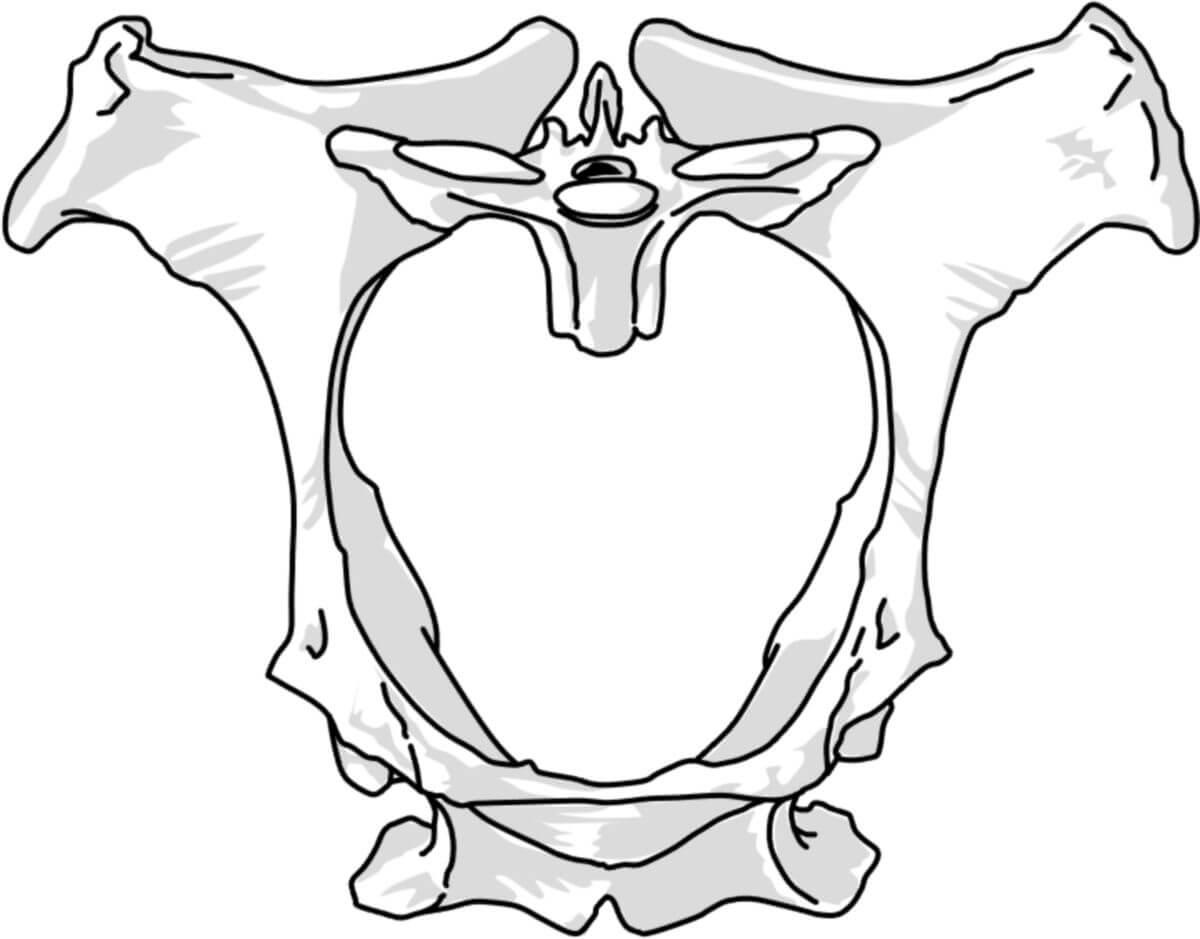 Beckengürtel