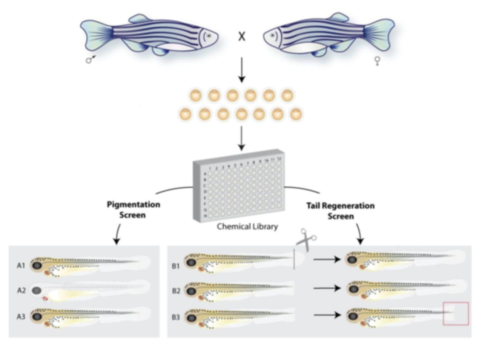 Zebrafish Chemical Screening Assay
