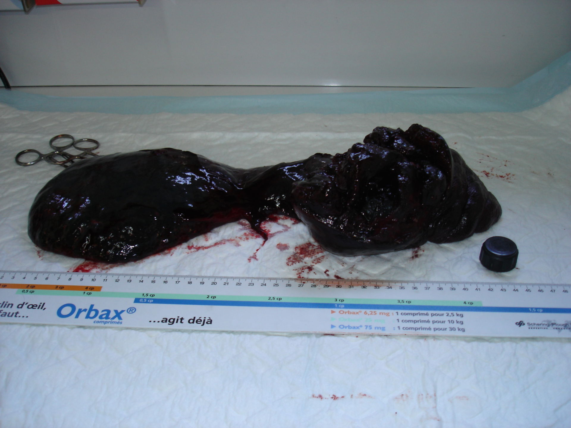 Splenic tumor, dog