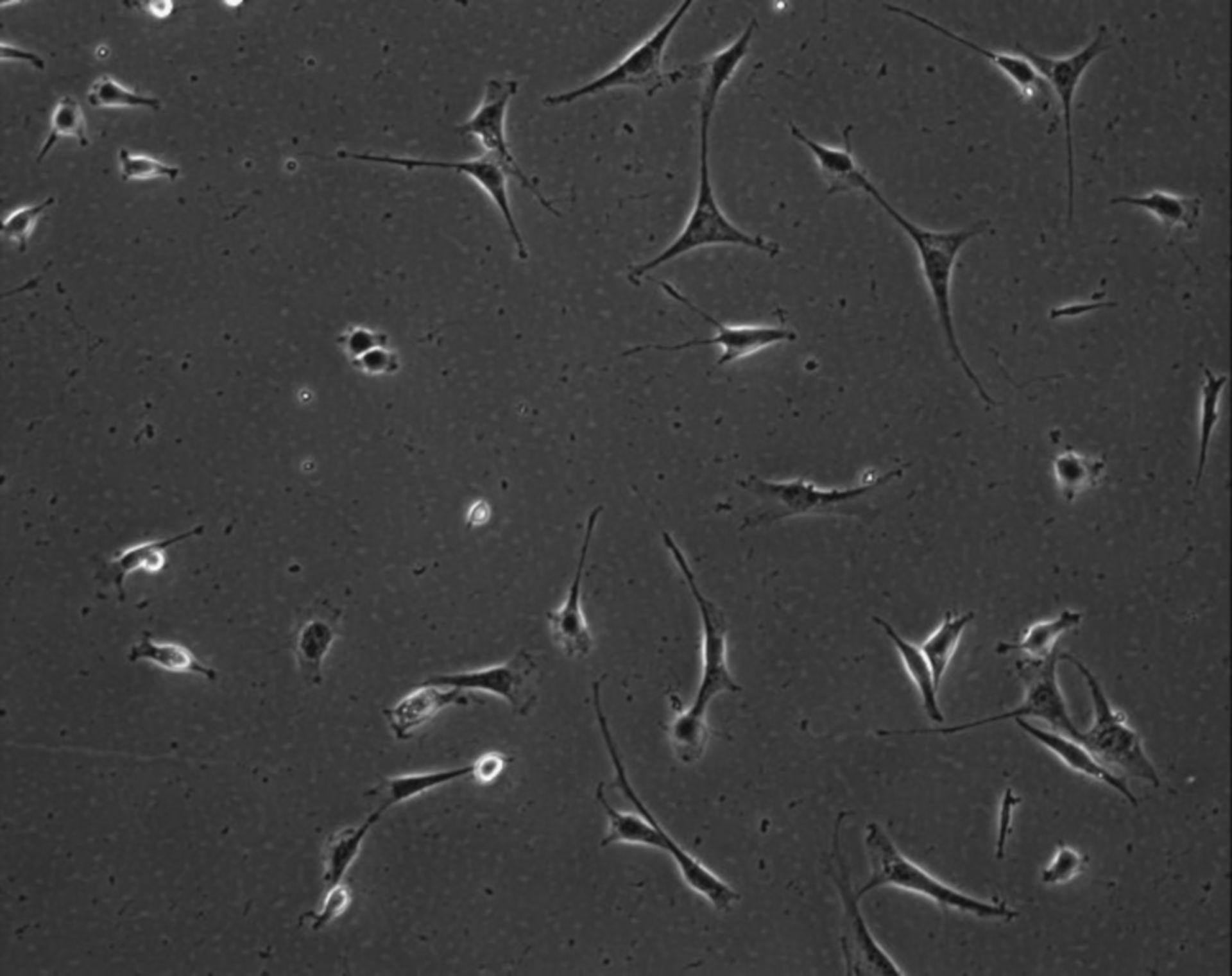 Mus musculus (Extracellular matrix part) - CIL:9008