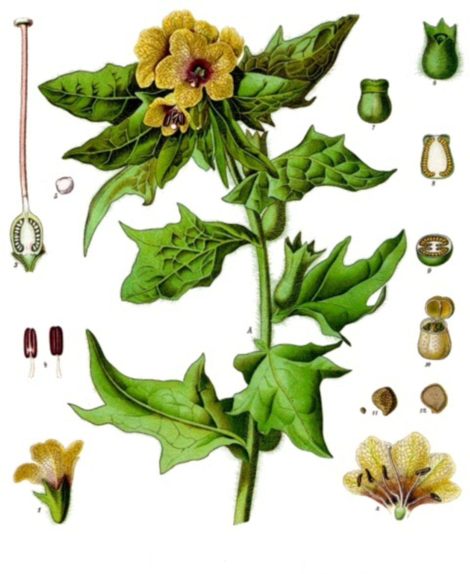 Hyoscyamus niger - giusquiamo
