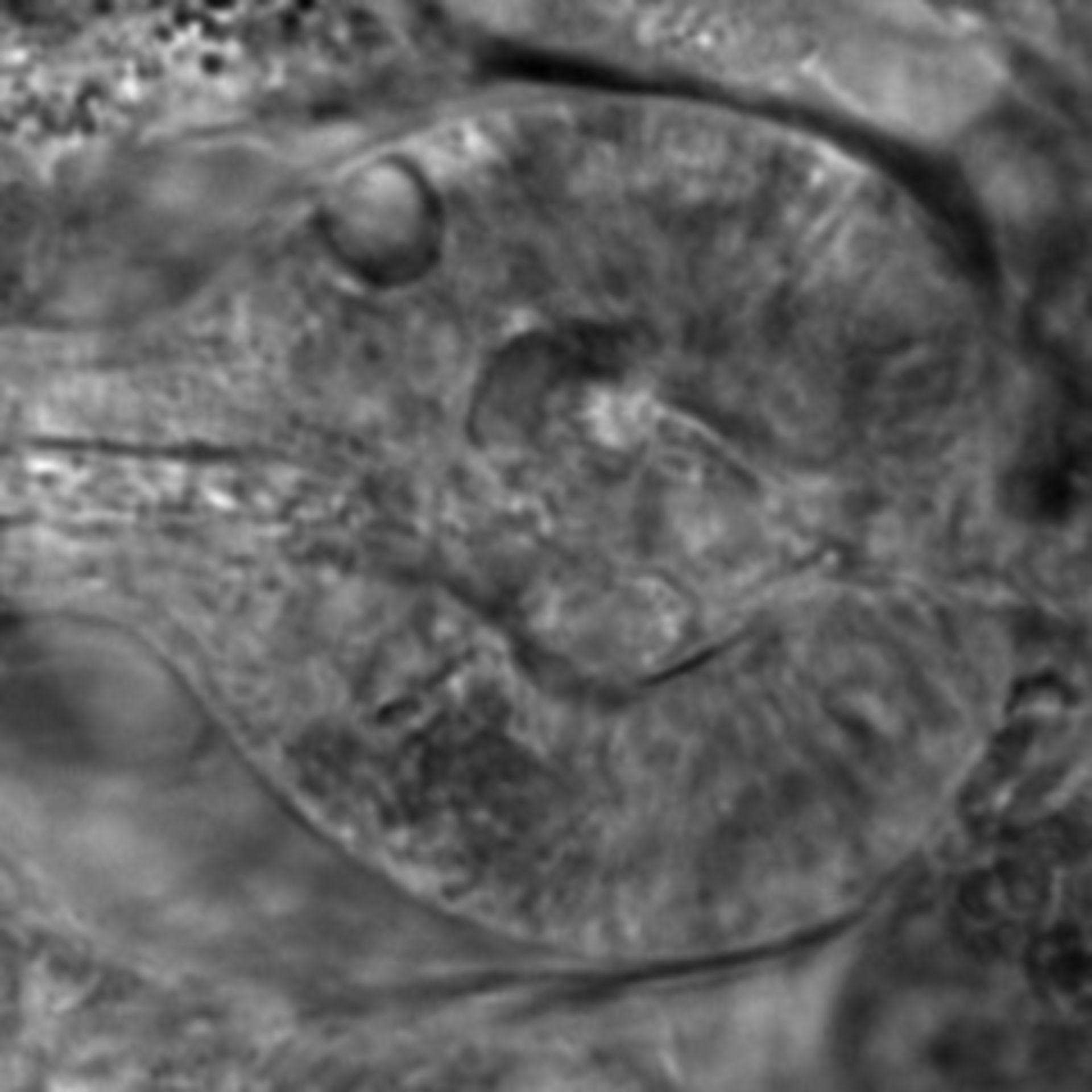 Caenorhabditis elegans - CIL:2594