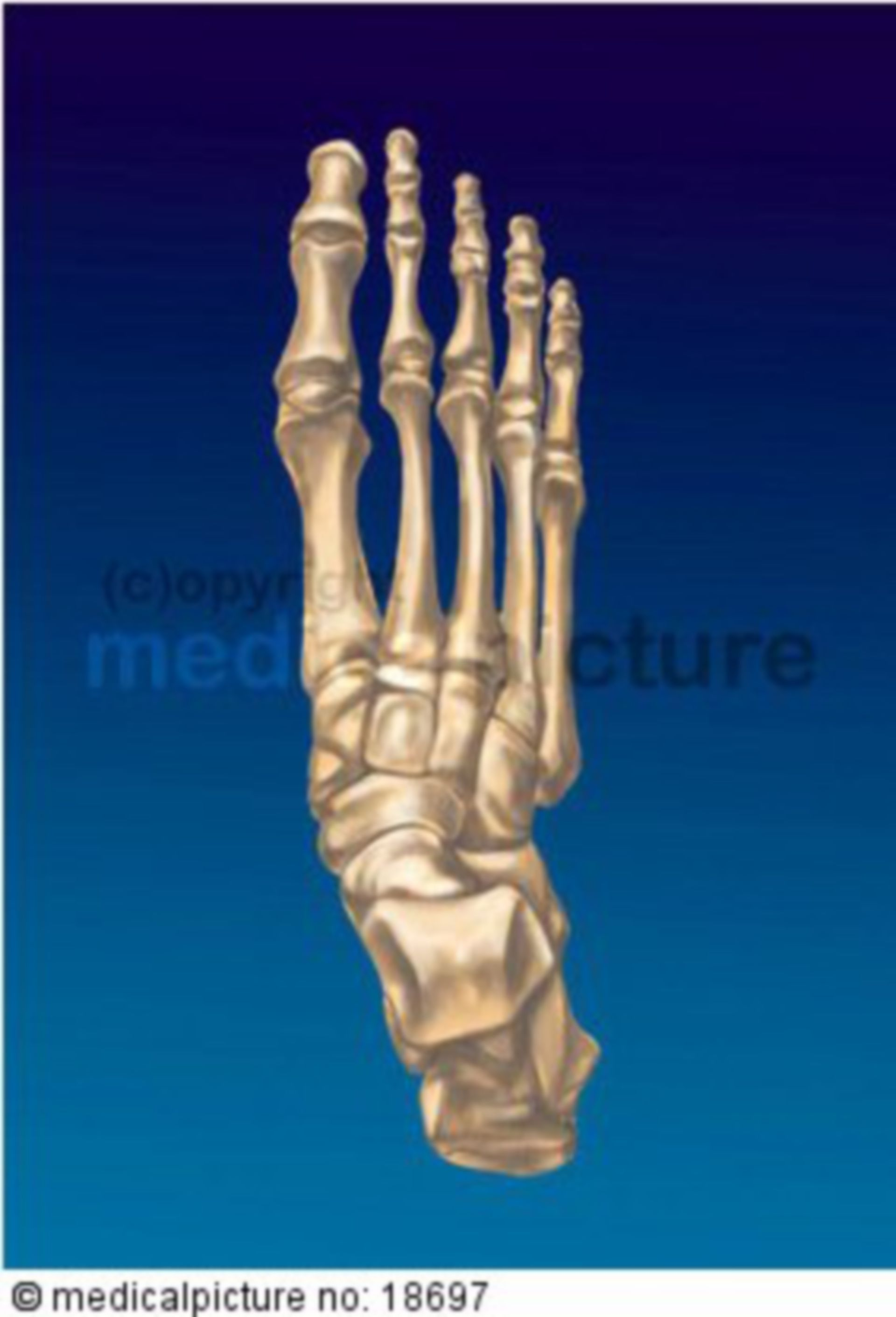 Right human foot skeleton