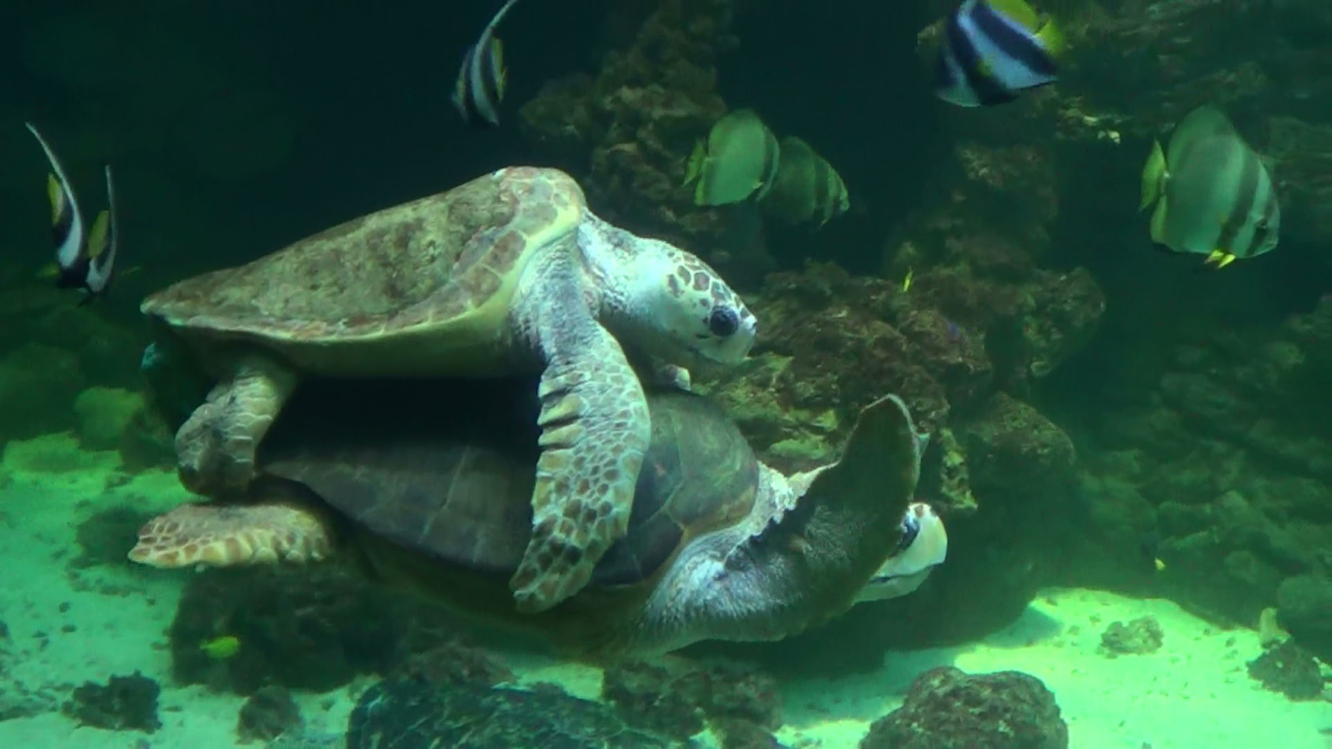 Paarung Carettschildkröte (2)