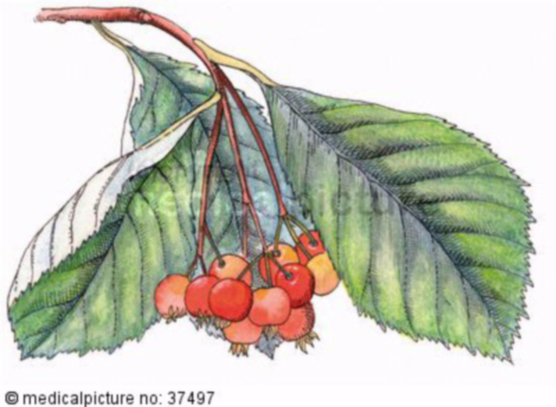 Mehlbeere, Sorbus aria