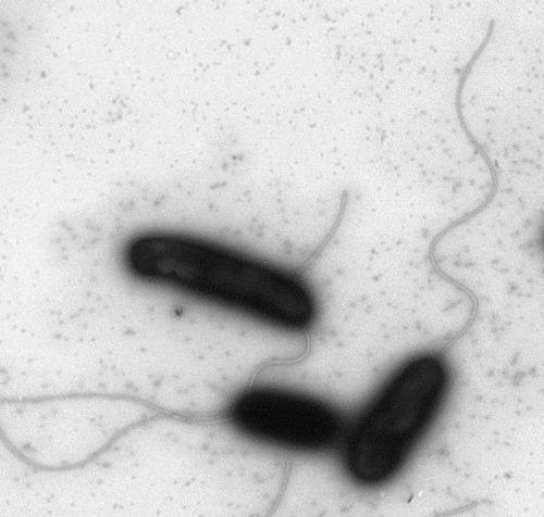 1439_Cholera_schmuck