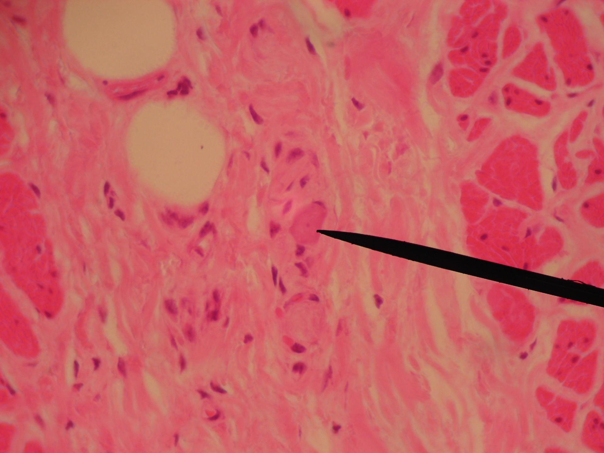 Veterinary medicine: Tela submucosa with Ganglion of the Meissner-Plexus