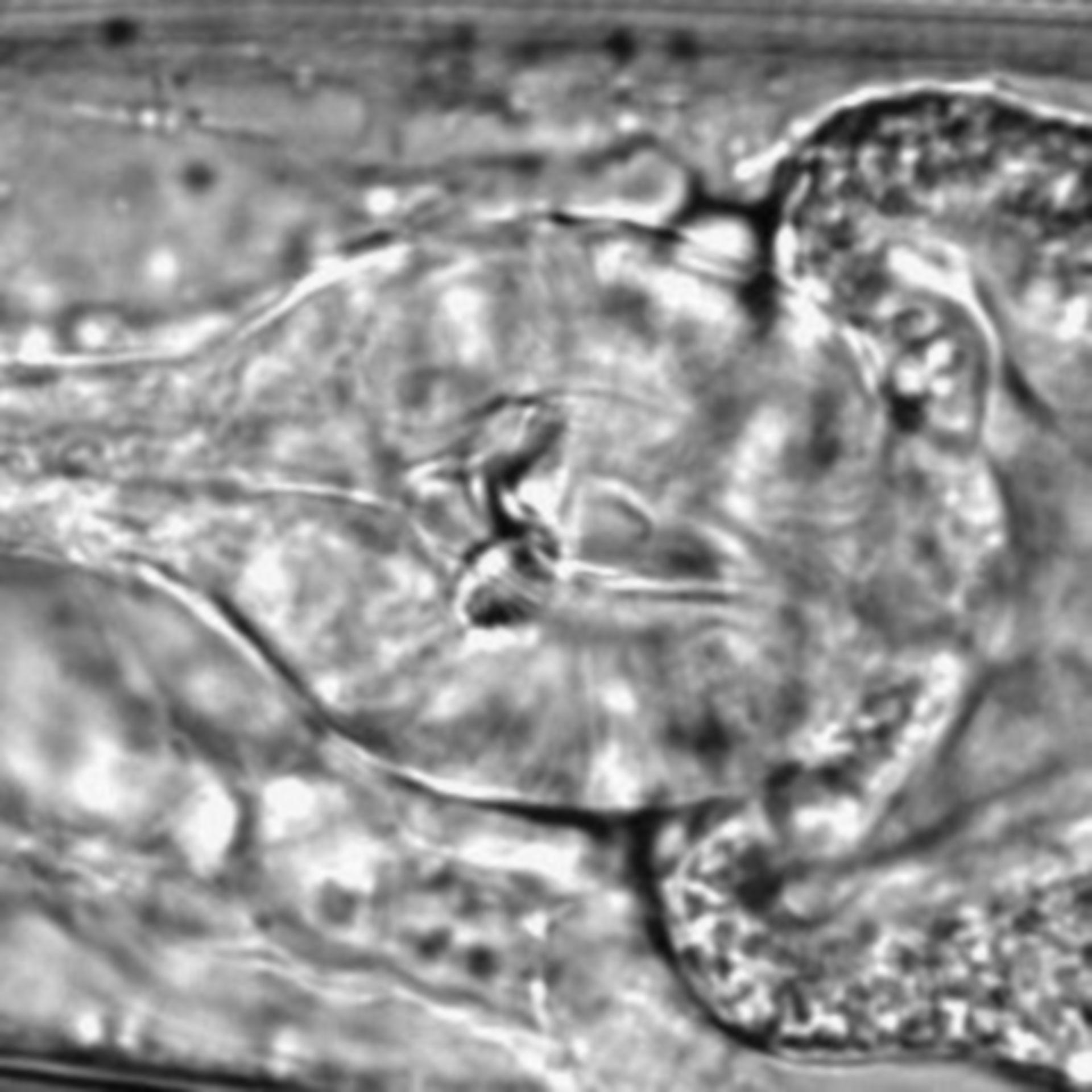 Caenorhabditis elegans - CIL:1630