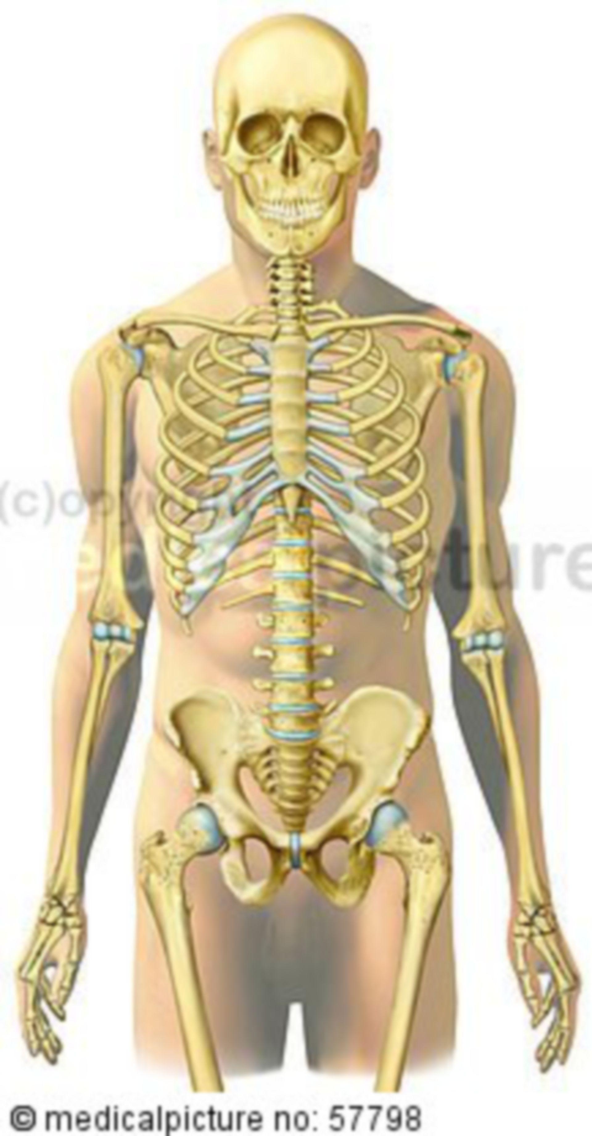 Illustrazioni scheletriche - scheletro