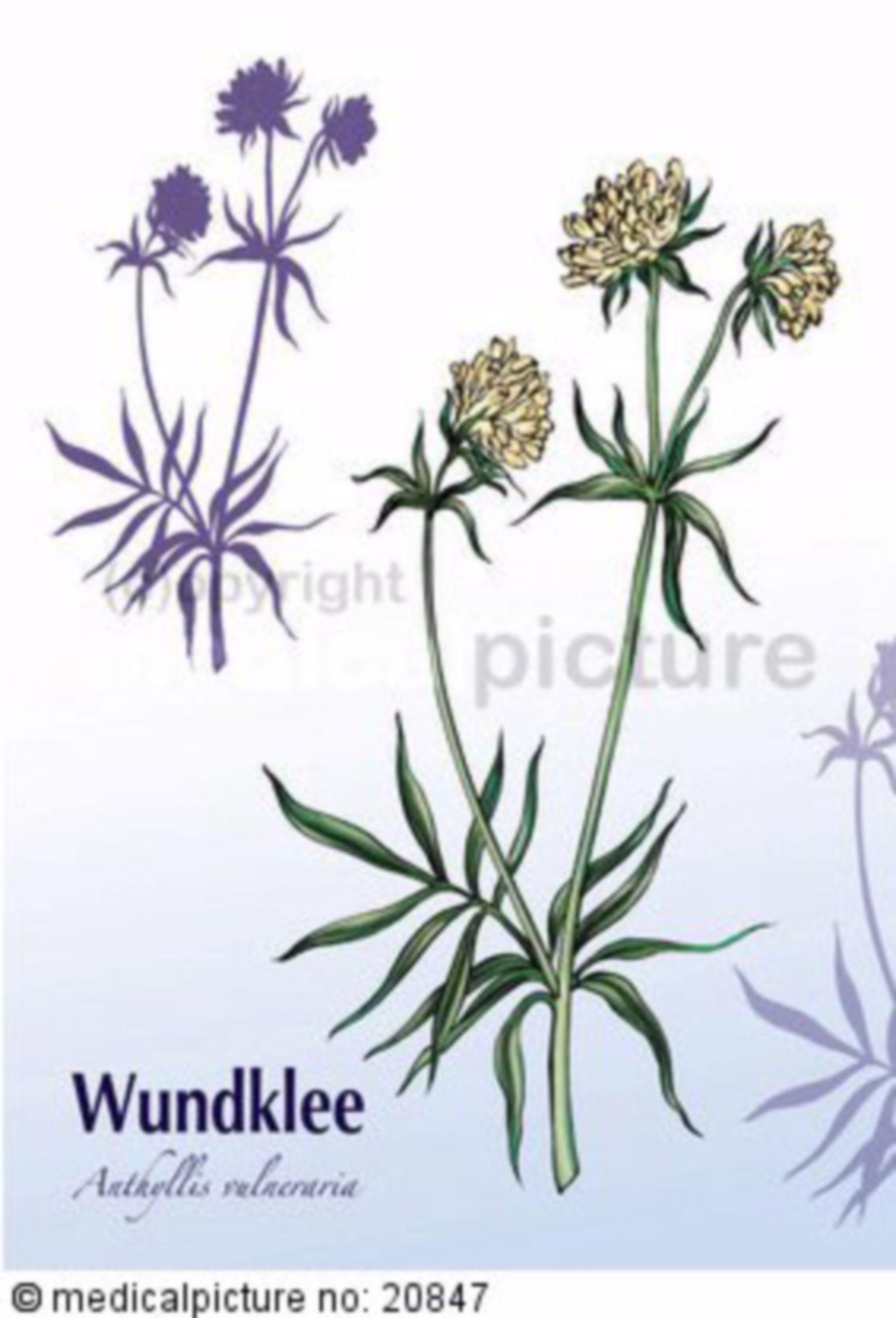 Wundklee, Anthyllis vulneraria