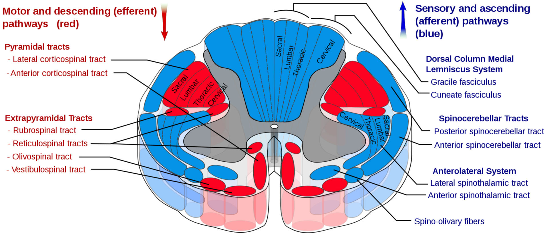 Tracts of the spinal cord (cross section)