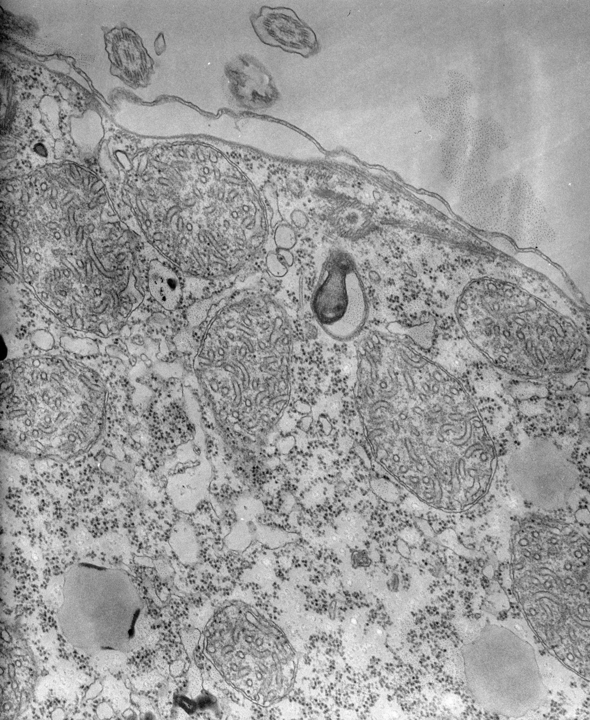 Tetrahymena pyriformis (organelli di membrana) - CIL:39722