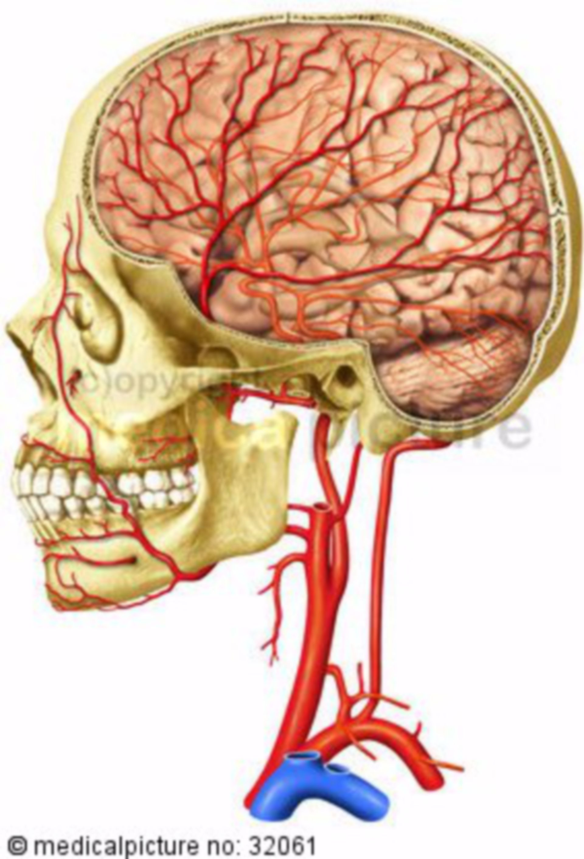 Arterien des Schädels