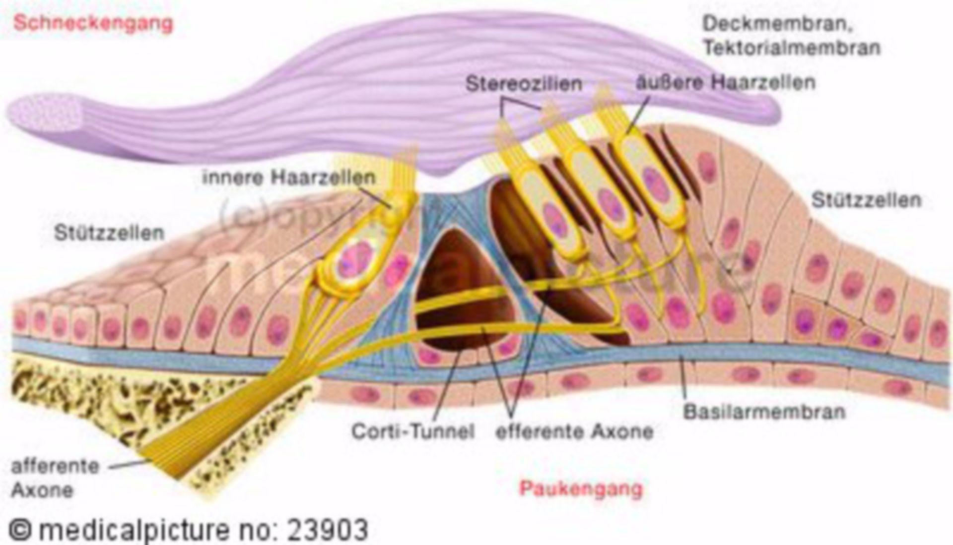 Organo dell'udito dell'orecchio interno, l'organo del Corti