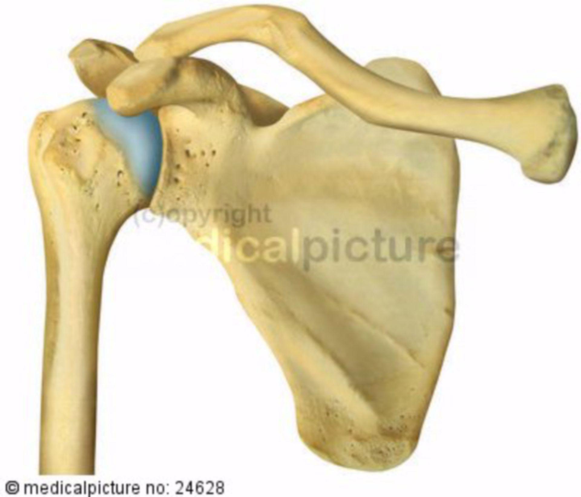 Articolazione della spalla vista anteriormente