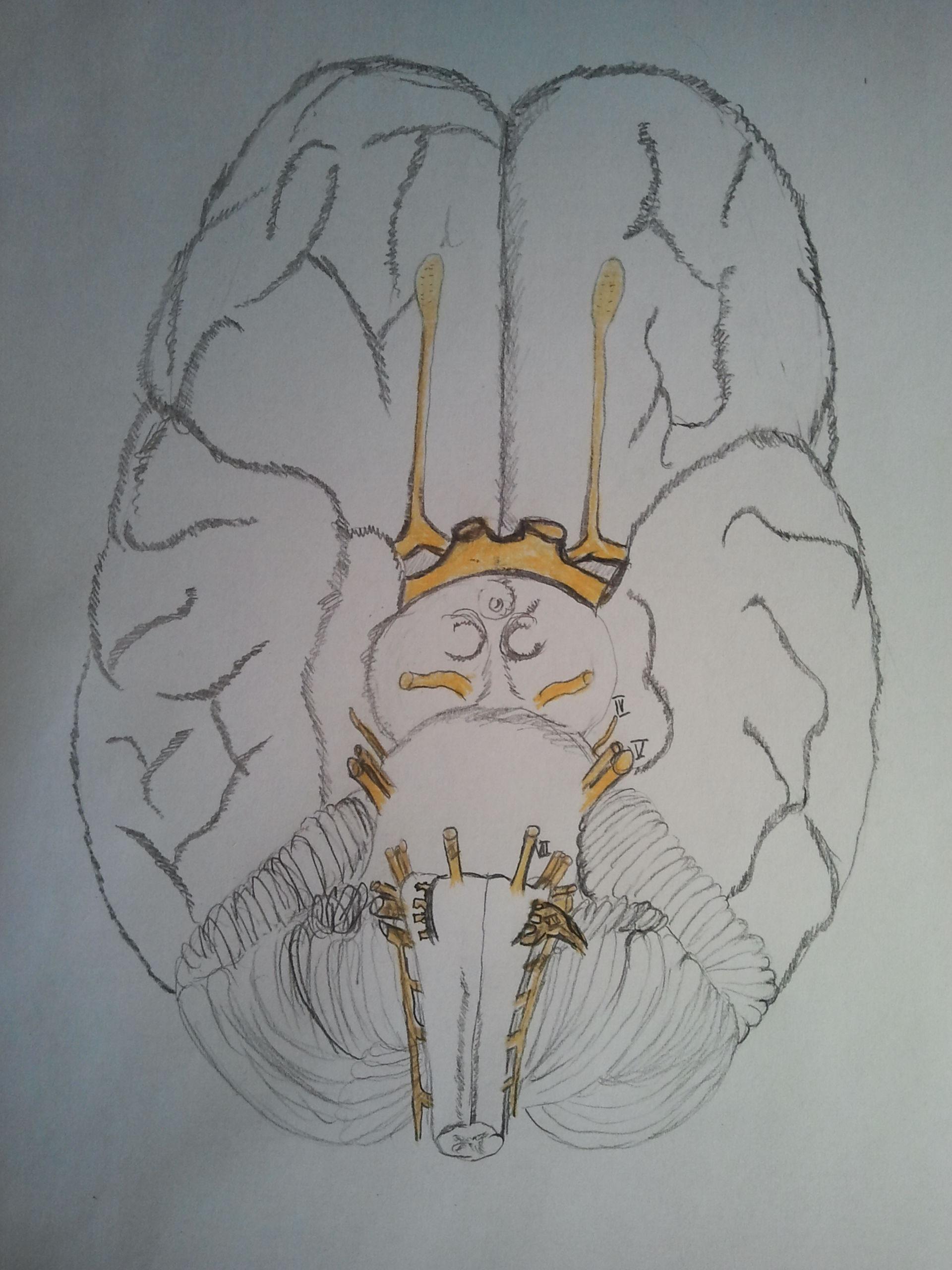 Hirnnerven und Kleinhirnteil