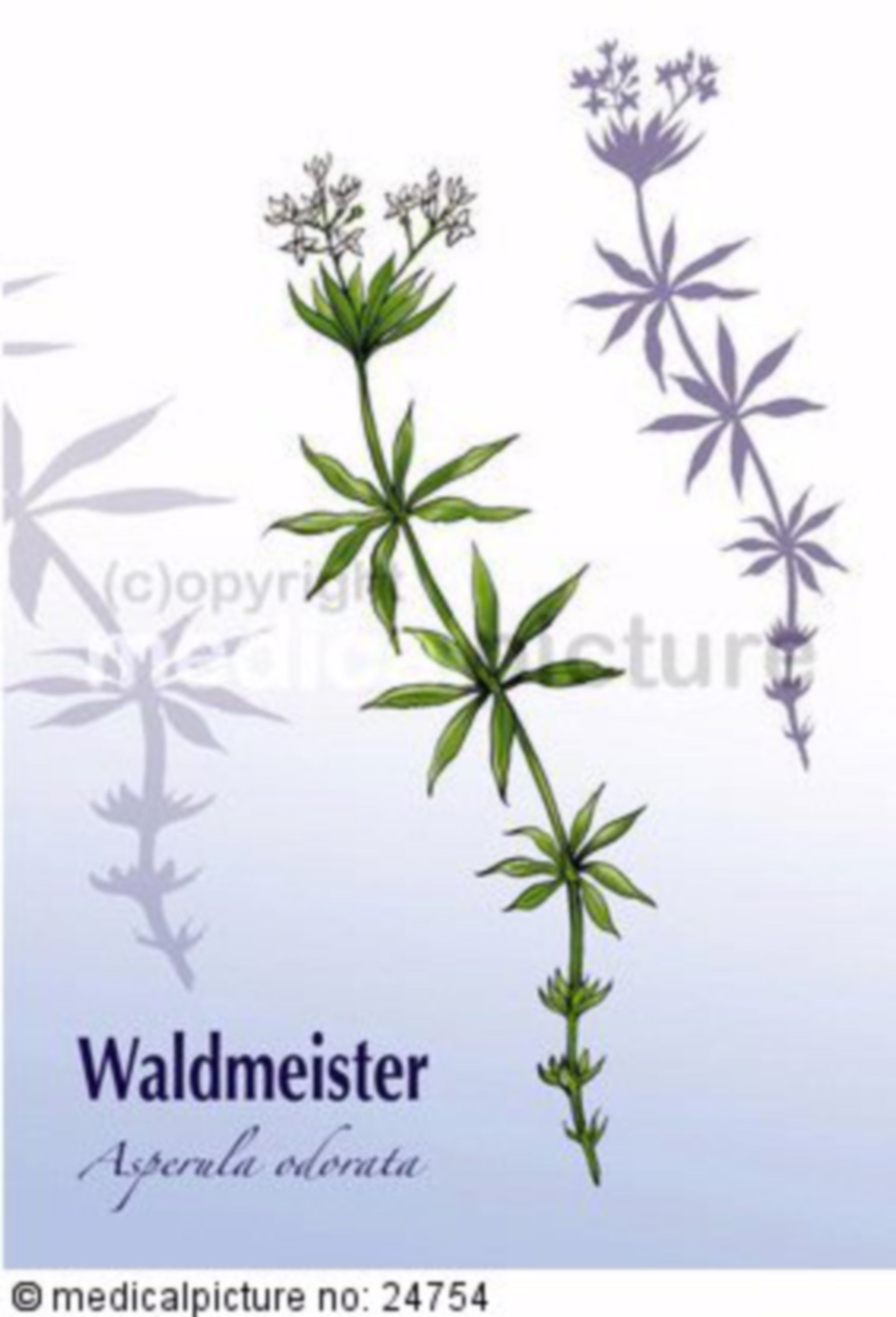 Waldmeister, Asperula odorata