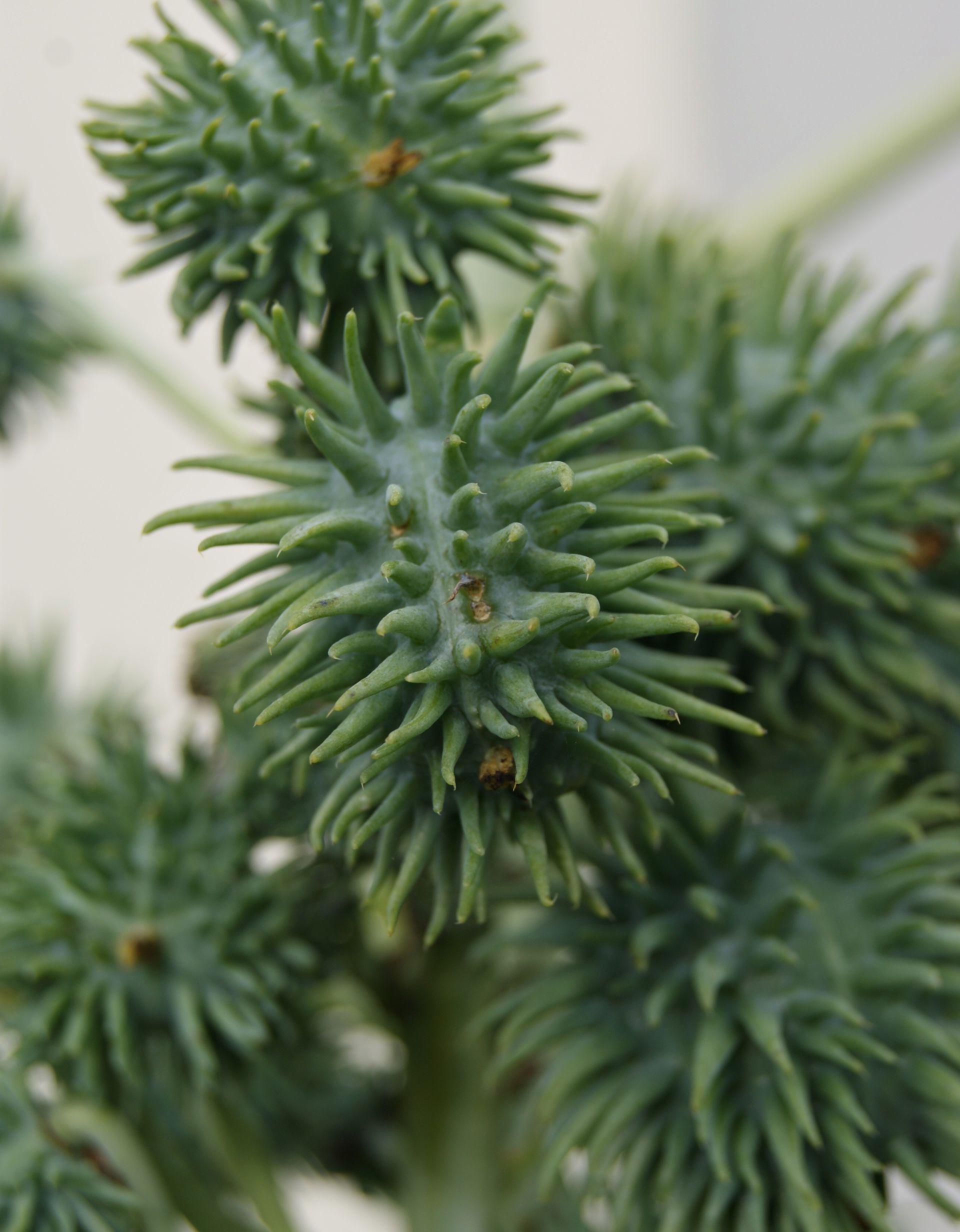 Piante velenose: Ricinus communis