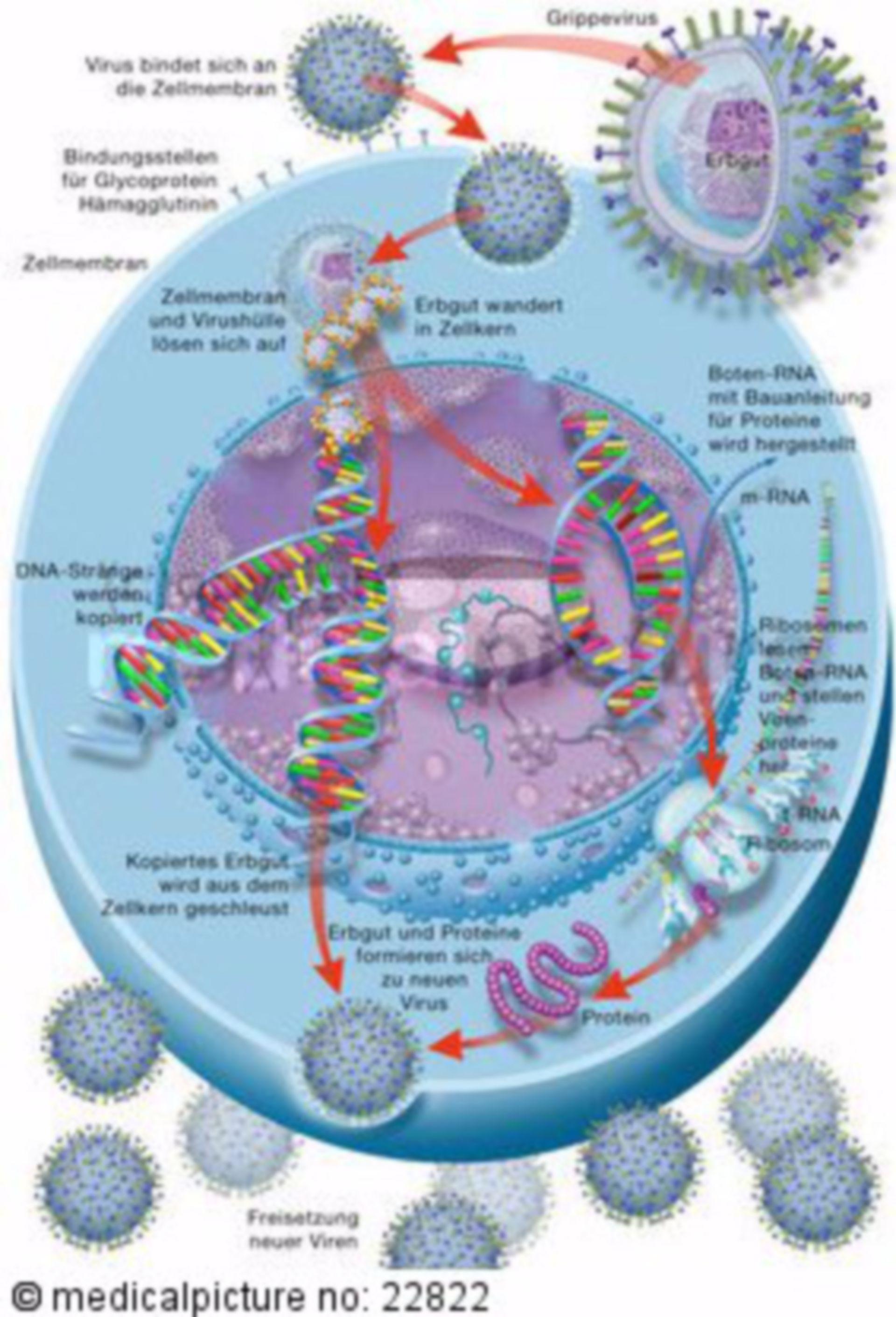 Vermehrungszyklus von Viren