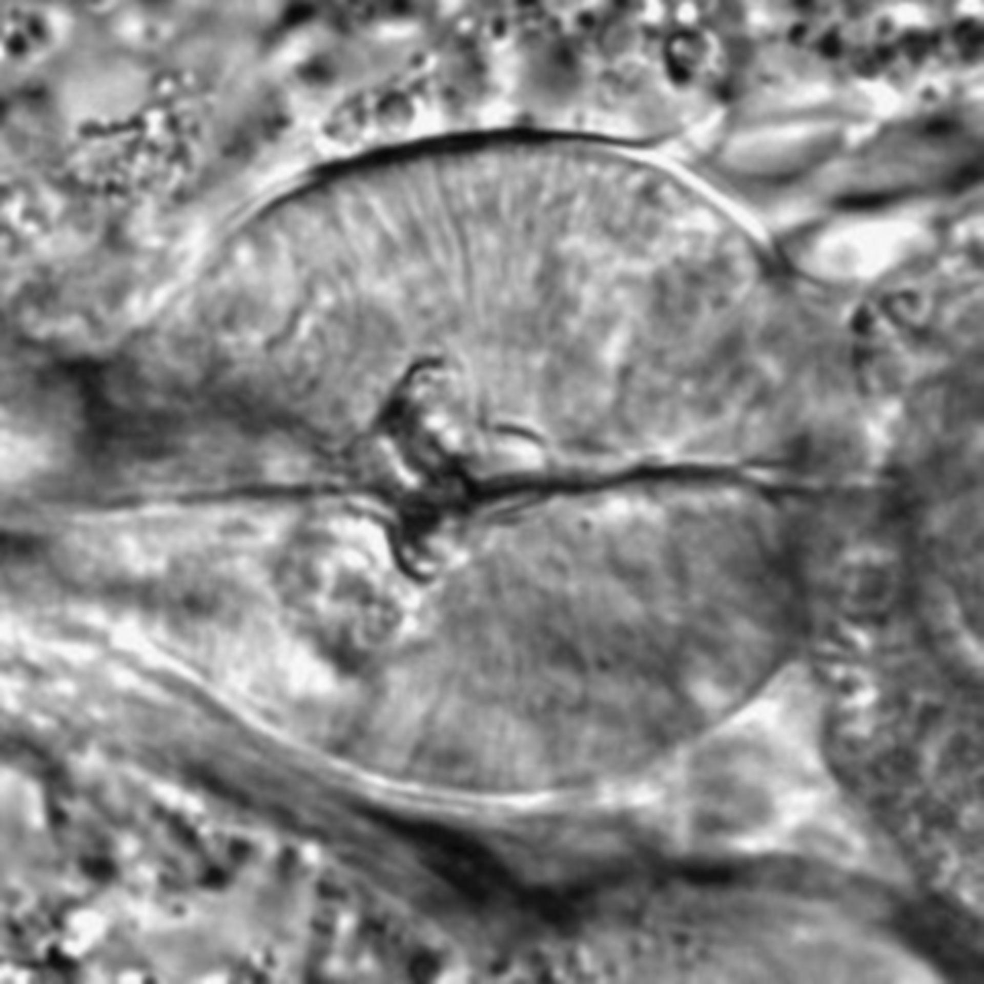 Caenorhabditis elegans - CIL:1747