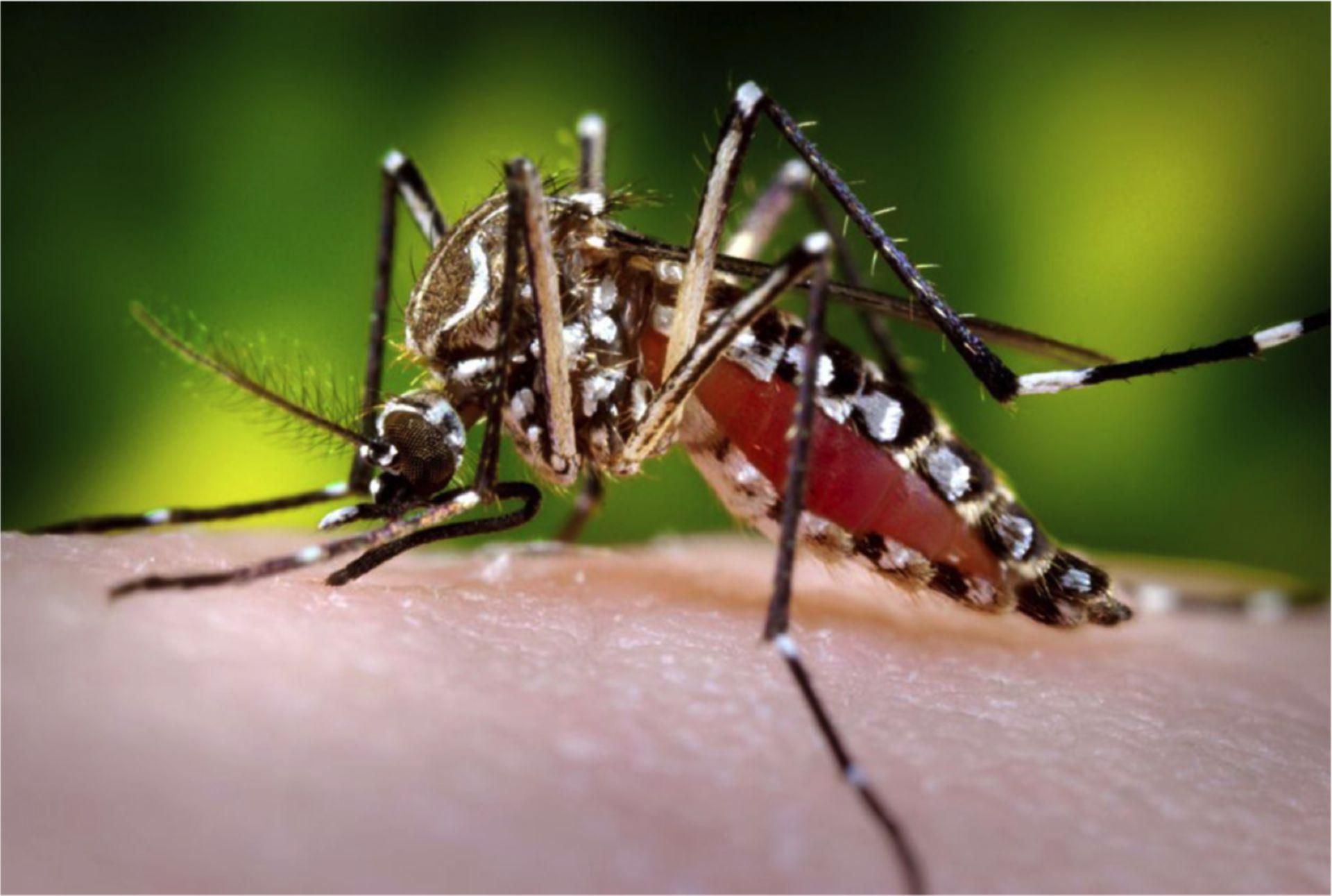 Aedes aegypti/Gelbfiebermücke