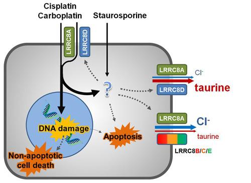 Die Chemotherapeutika Cisplatin und Carboplatin sowie der proapoptotische Naturstoff Staurosporin gelangen in kleinen Mengen durch passive Diffusion über die Plasmamembran in die Zelle. © Thomas Jentsch, MDC/FMP