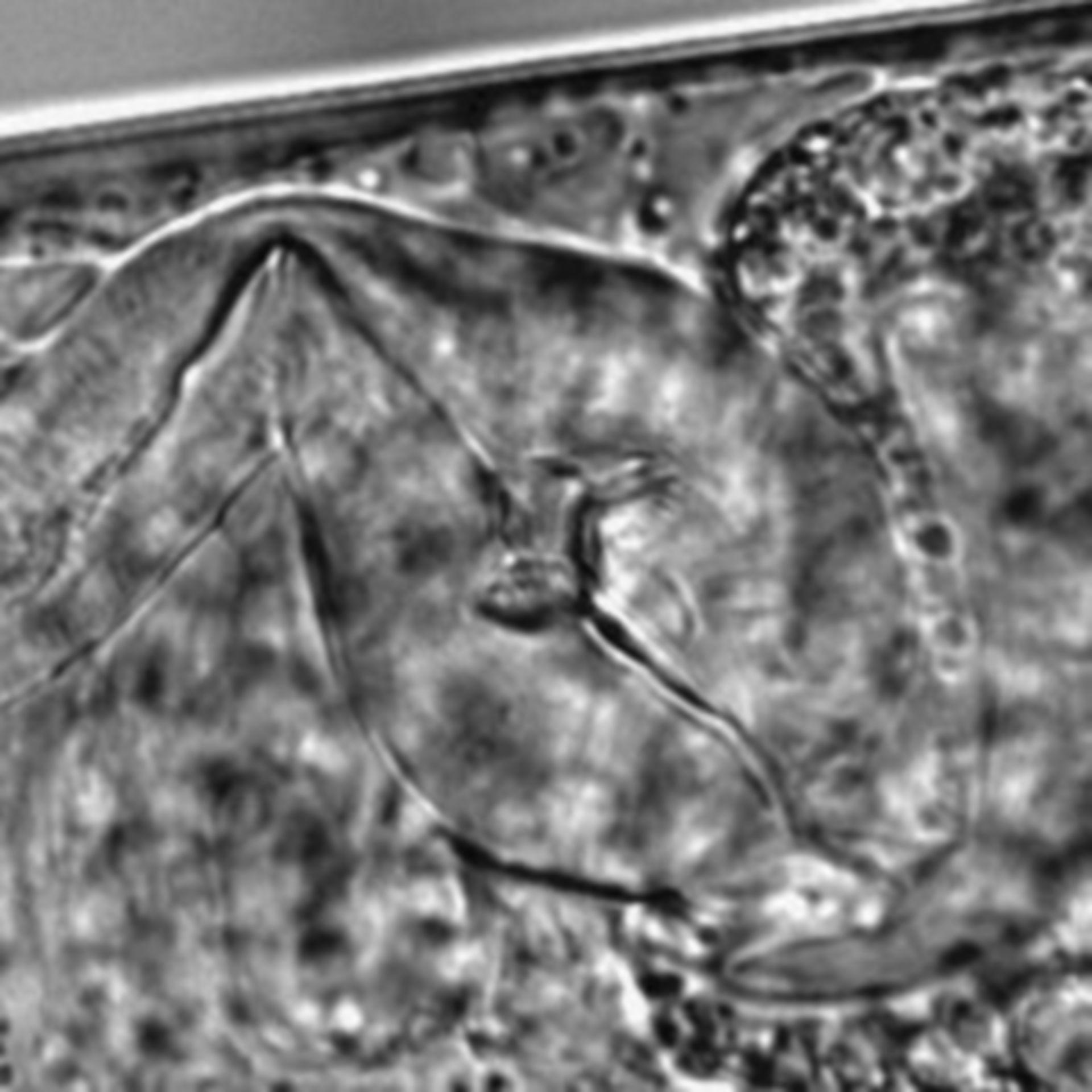 Caenorhabditis elegans - CIL:1666
