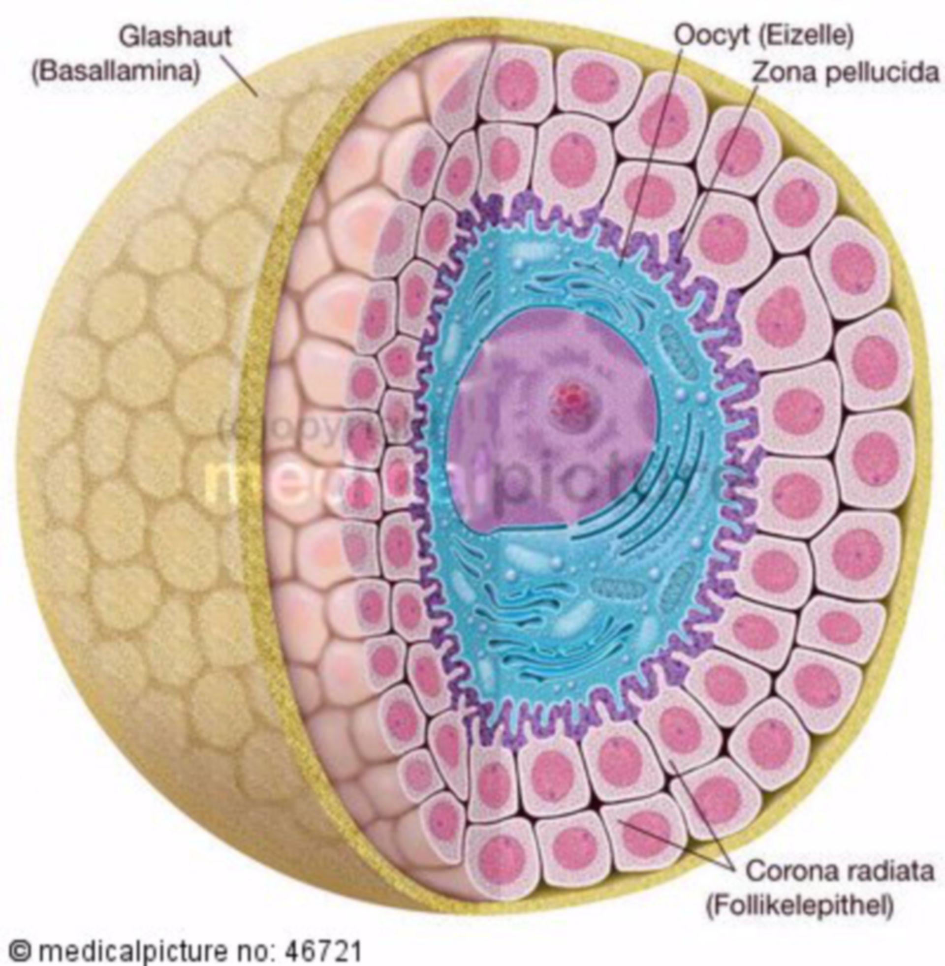 Menschliche Eizelle Sekundärfollikel