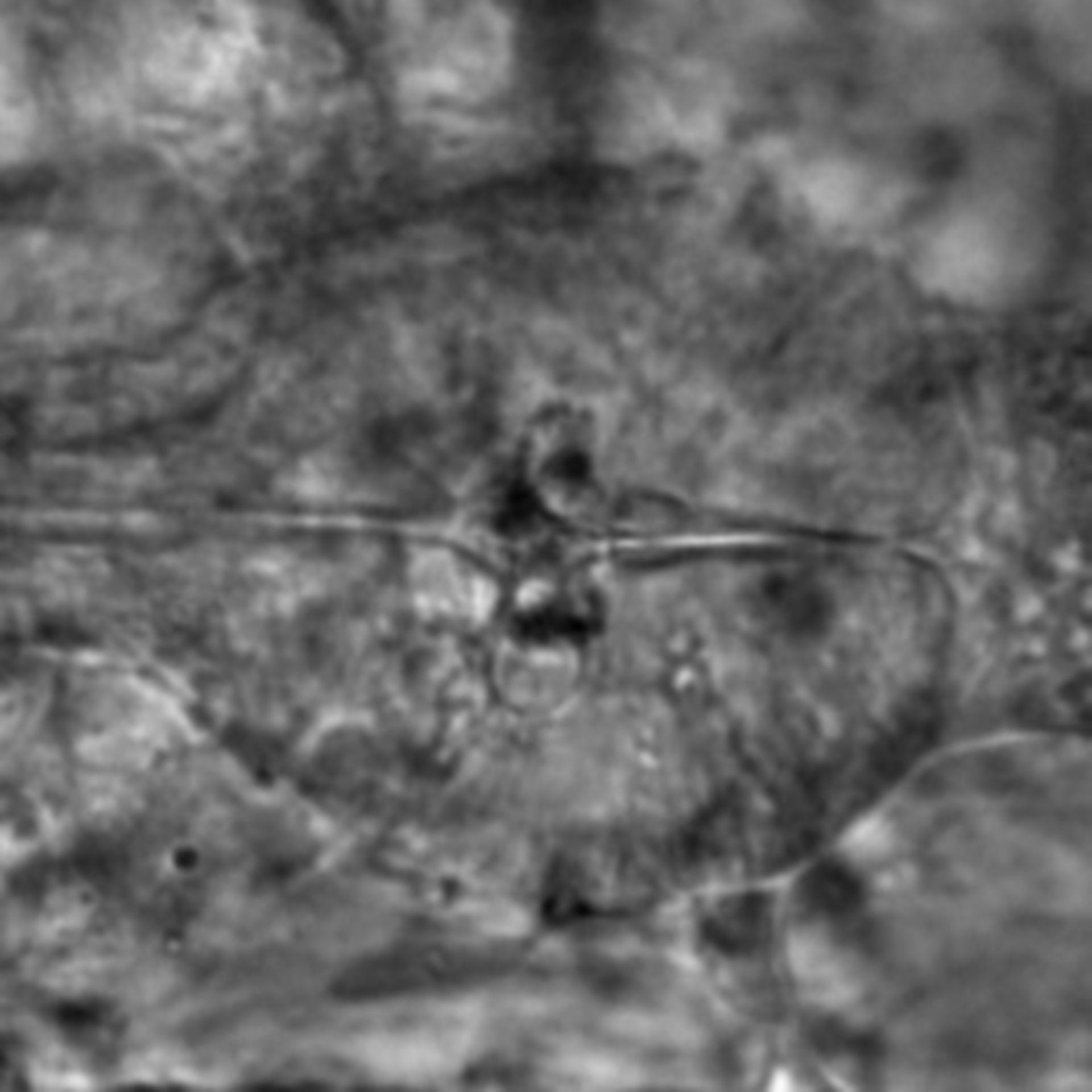Caenorhabditis elegans - CIL:1937