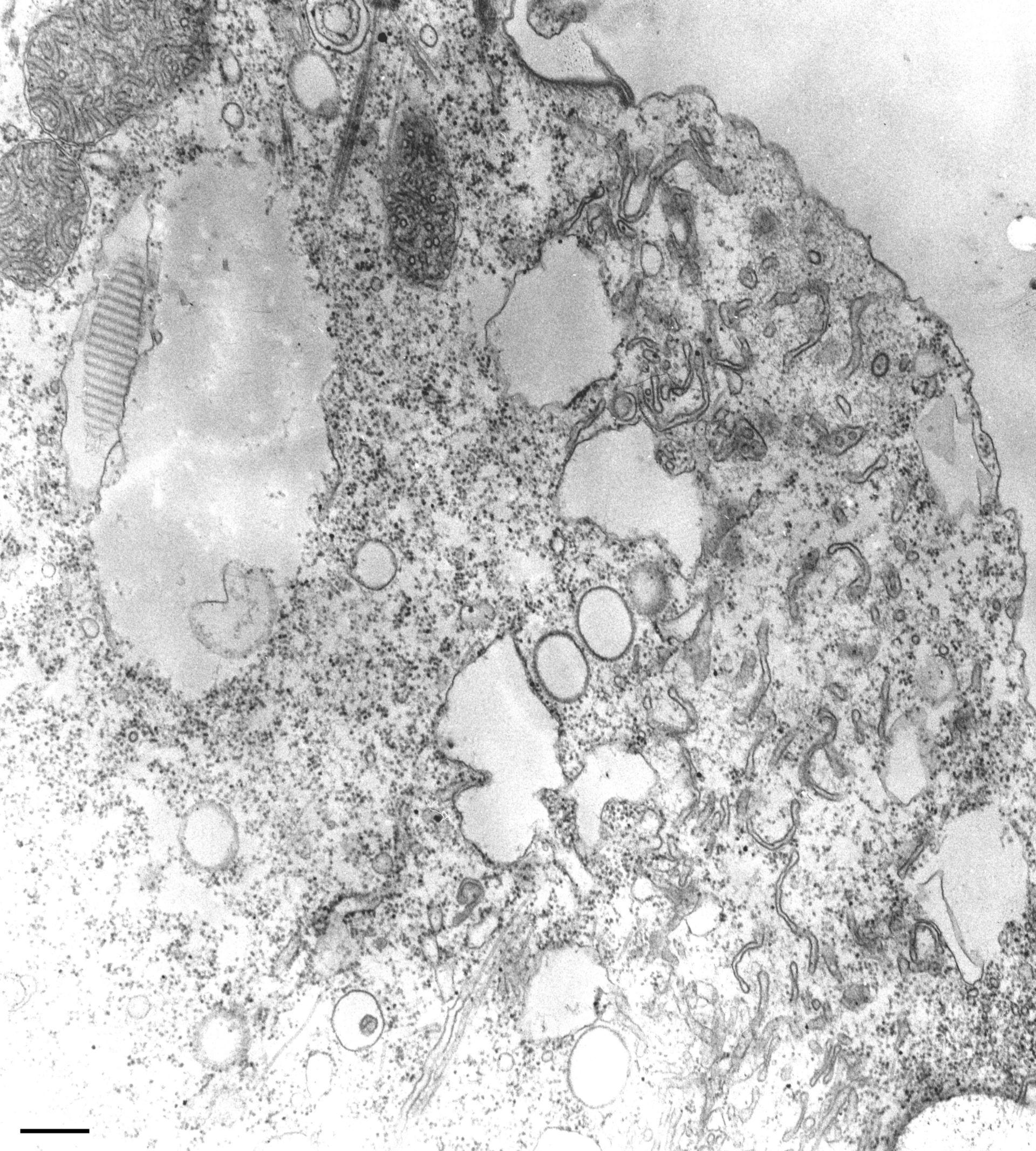 Paramecium multimicronucleatum (Microtubule) - CIL:13138