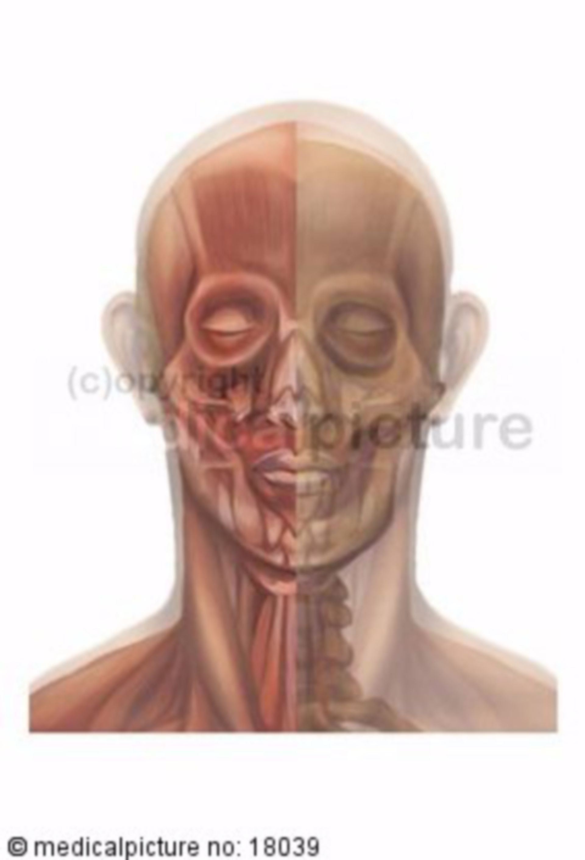 Plastic depiction of head and cervical muscles