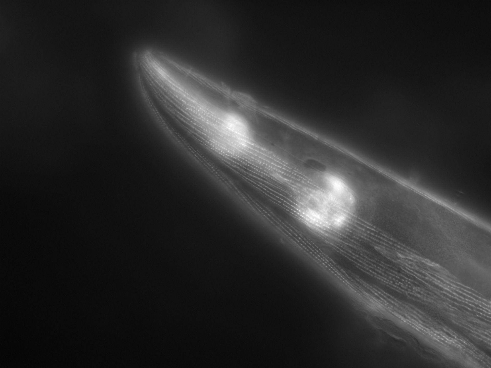 Caenorhabditis elegans (Actin filament) - CIL:1147