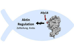 Afp18 aus dem Erreger Yersinia ruckeri heftet ein Zuckermolekül an das Zellprotein RhoA und stört so die Aktinregulation der Zelle. Dies betrifft insbesondere die Zellteilung und Krebsmetastasierung. © Dr. Thomas Jank