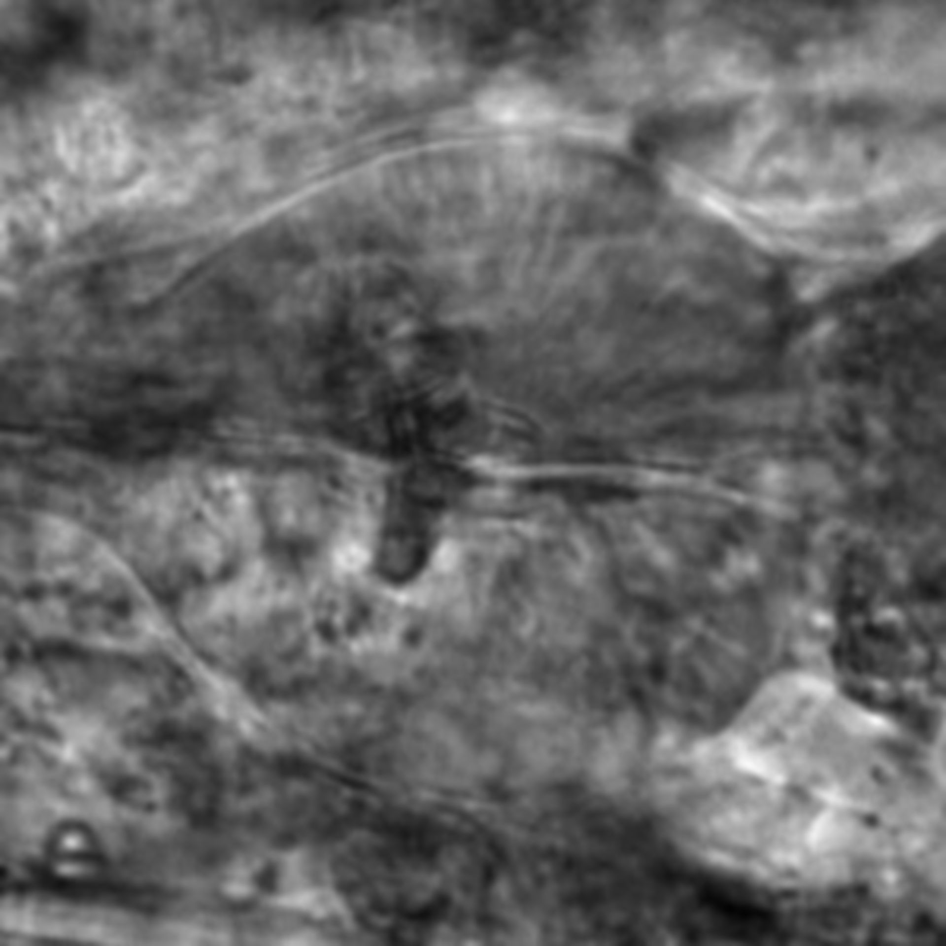 Caenorhabditis elegans - CIL:2246