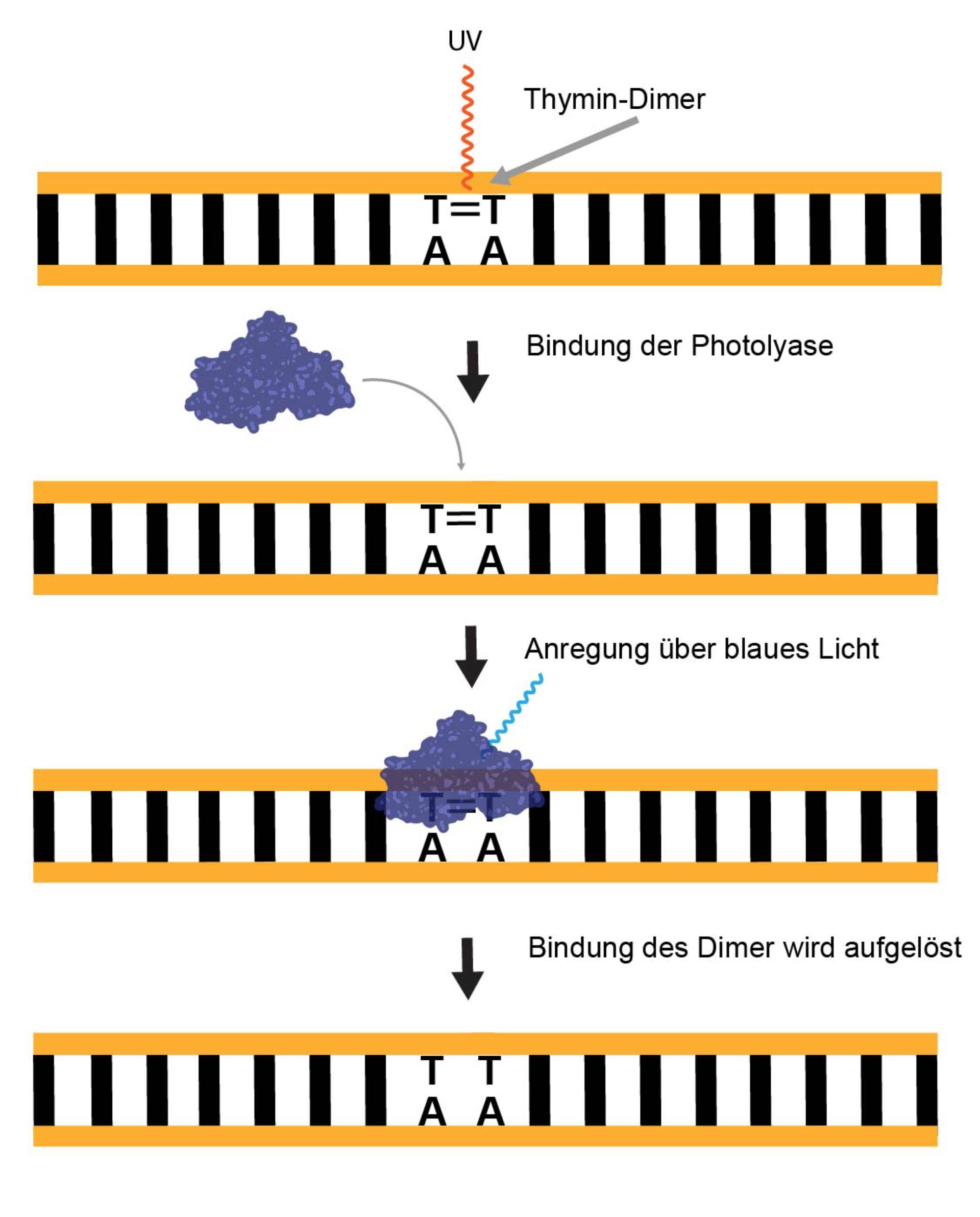 Mechanismus der Photoreaktivierung