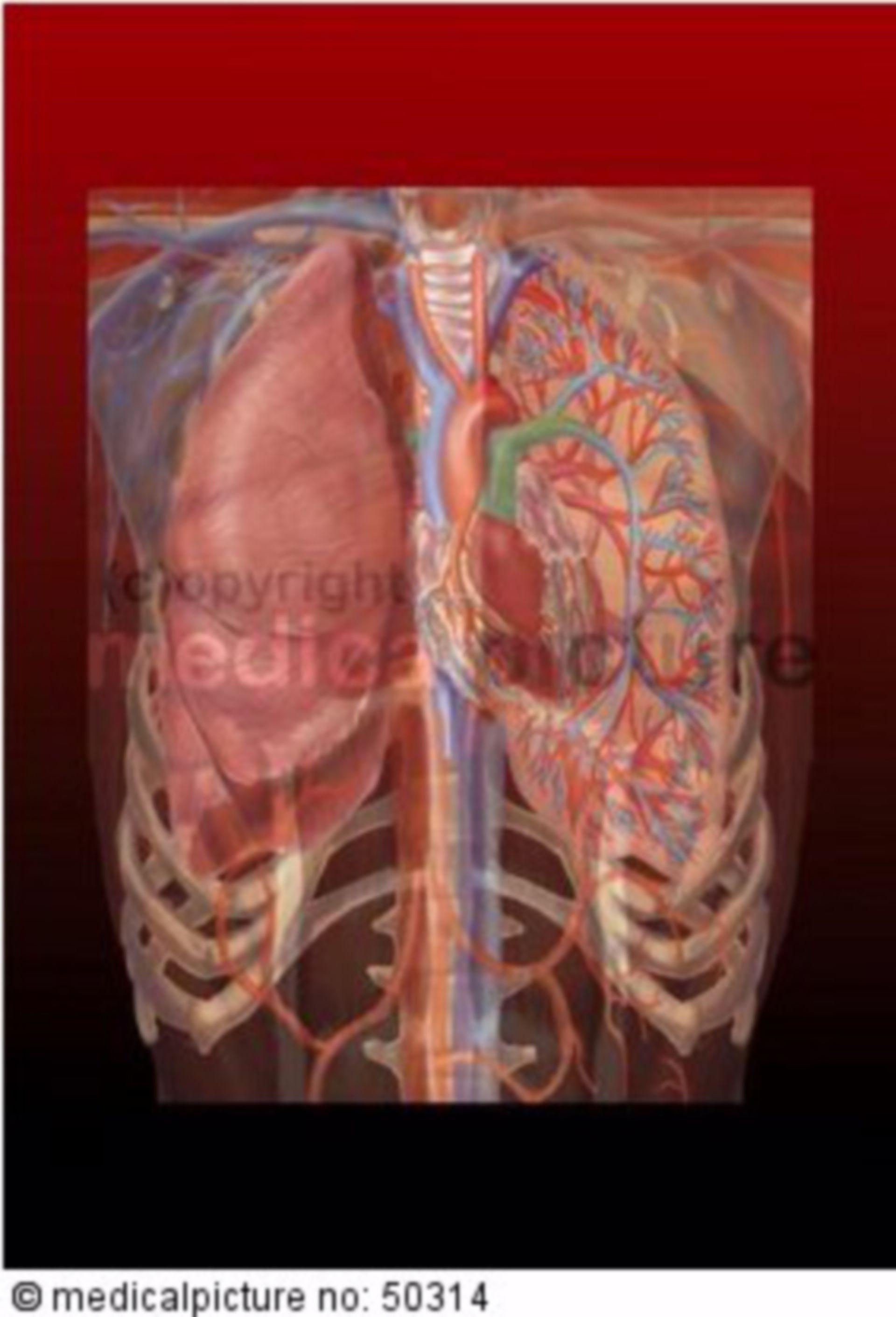 Brustkorb mit Organen und Gefäßen