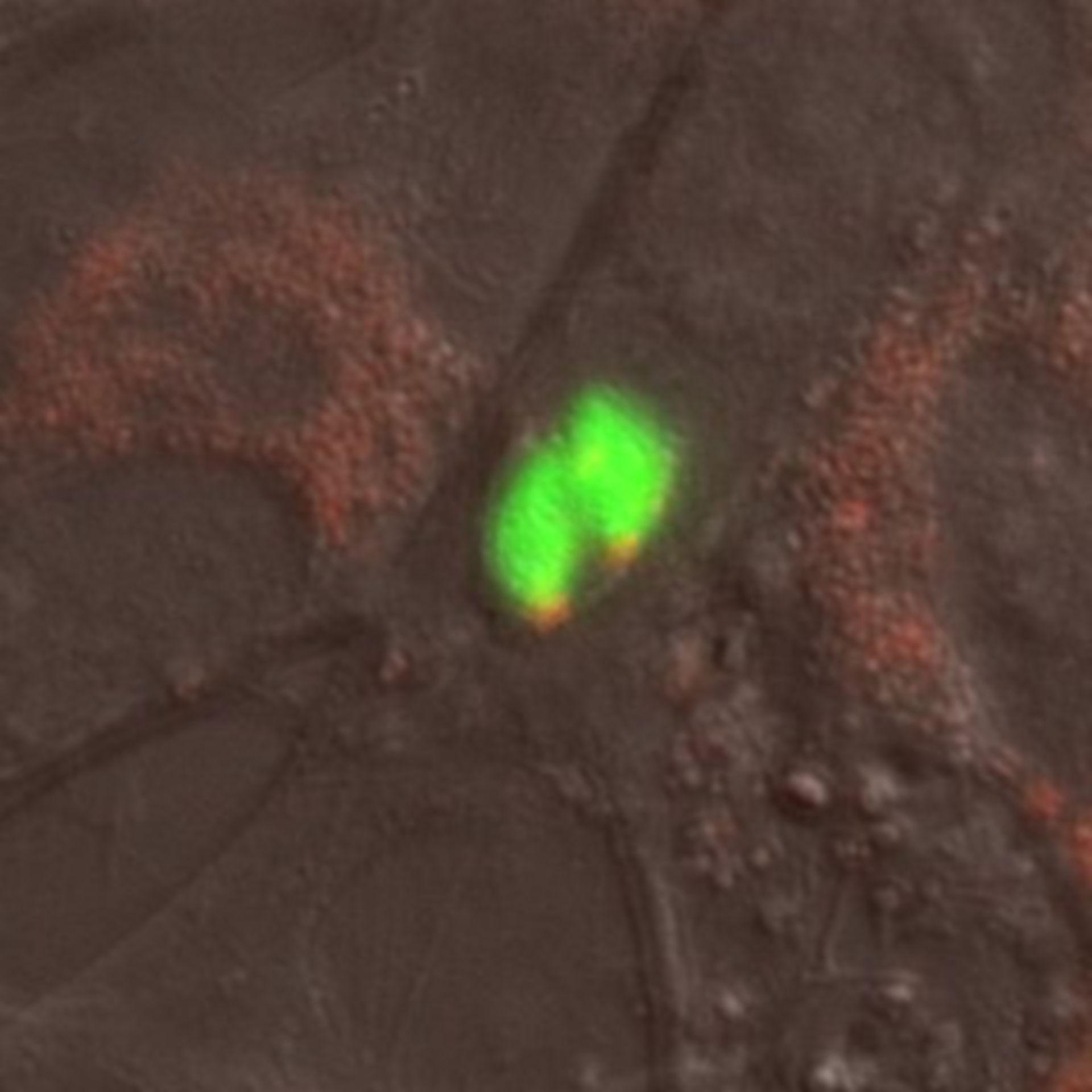 Toxoplasma gondii RH (Microtubule organizing center) - CIL:10460